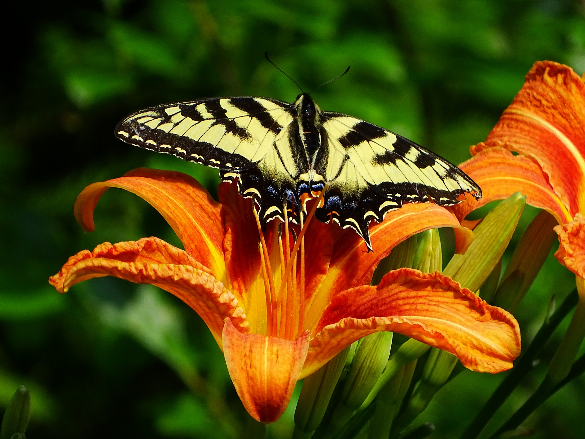 Tiger Swallowtail on my Daylilies by paulette.king