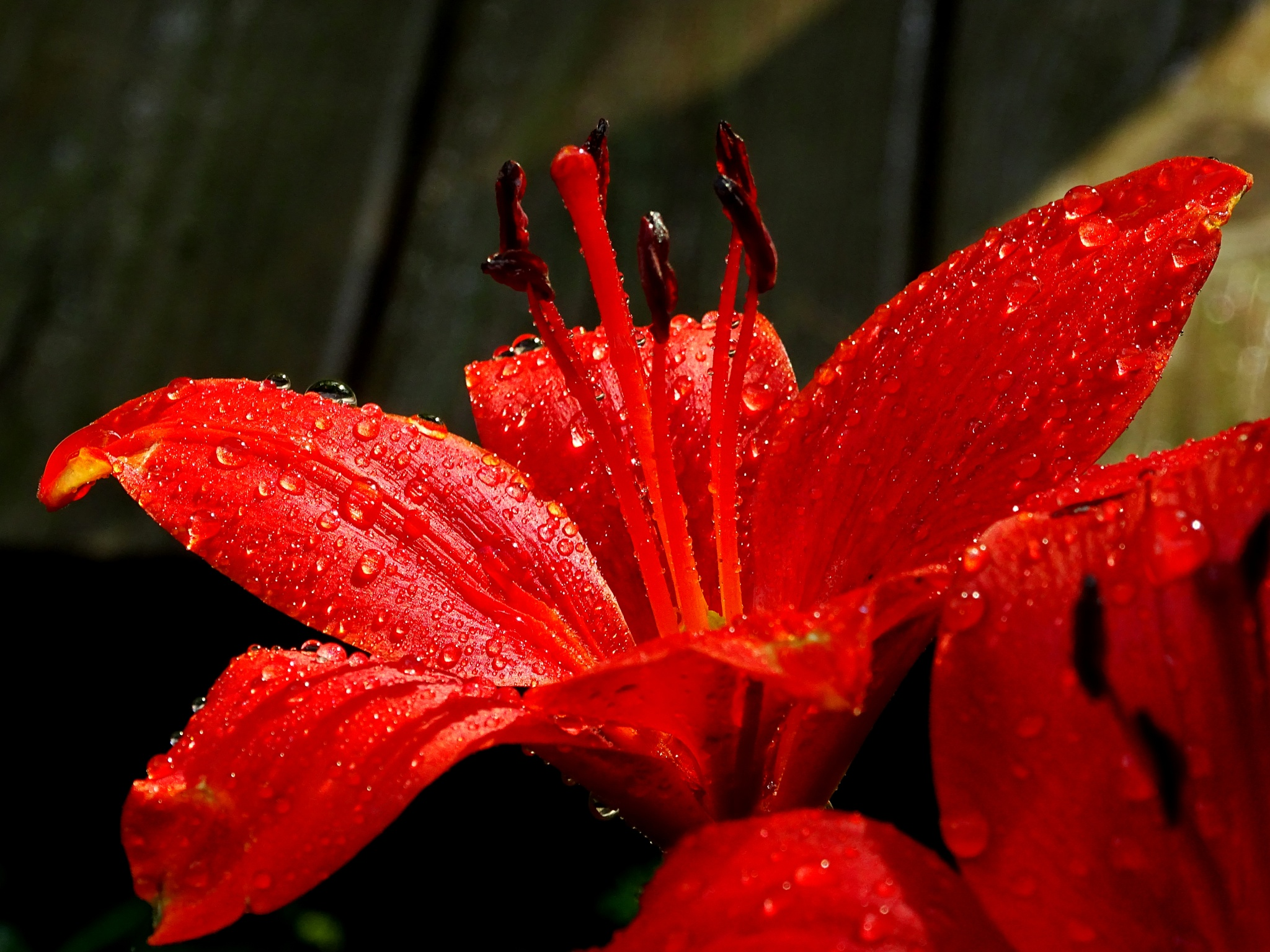 Lily and raindrops by paulette.king