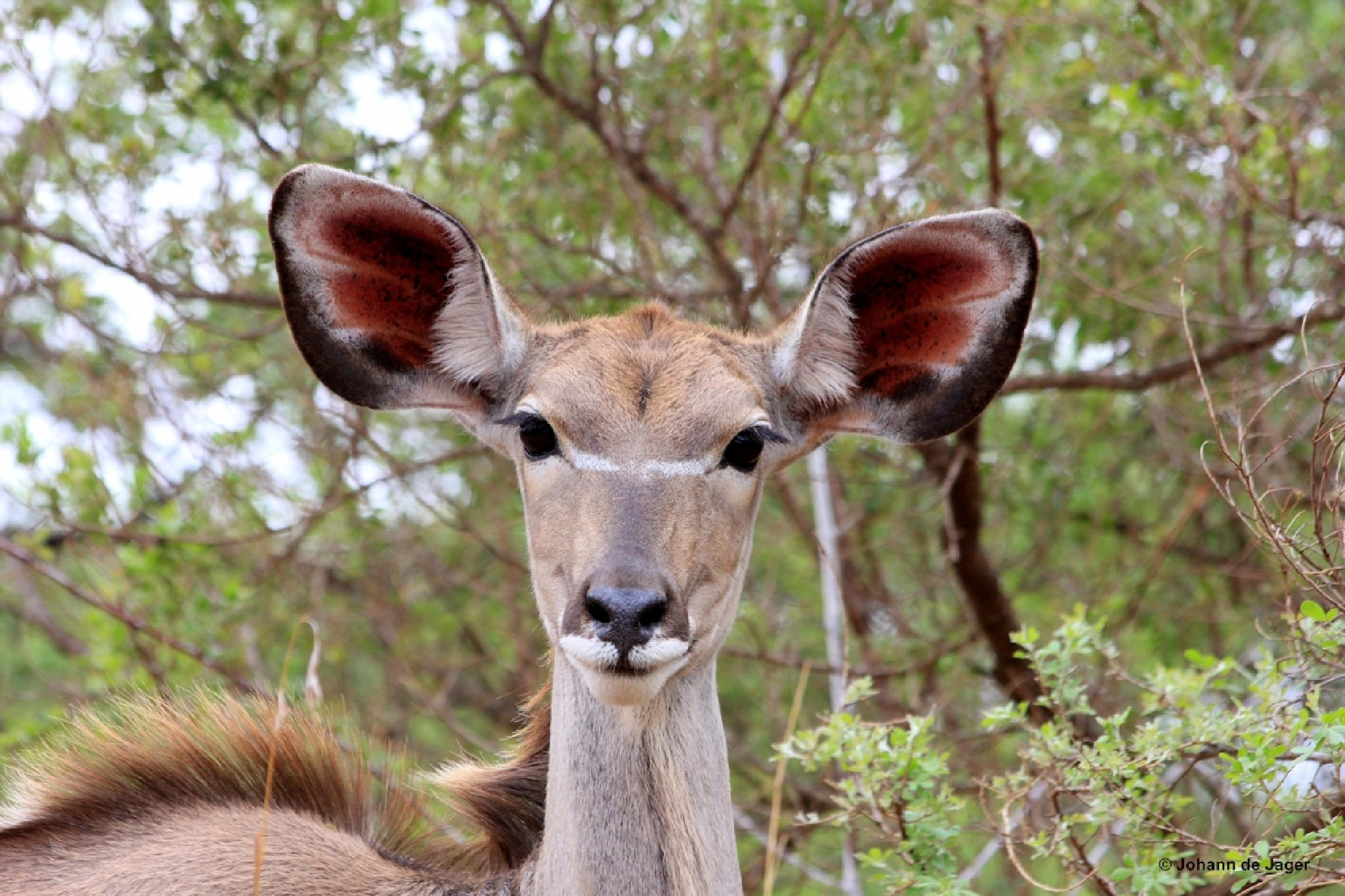 Photo in Animal #kudu #pretty youngster #young kudu