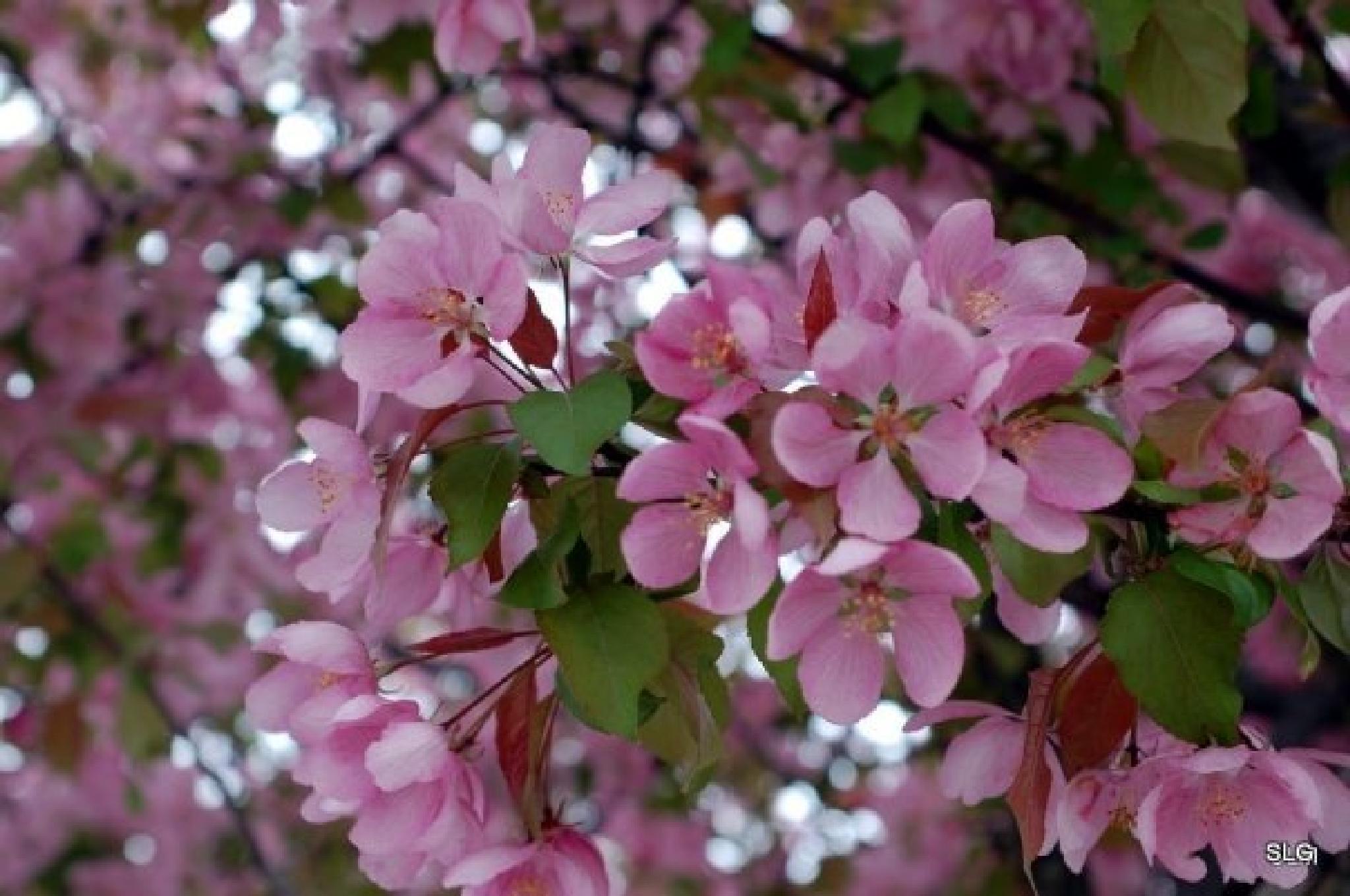 crabapple blossom by SaraGary