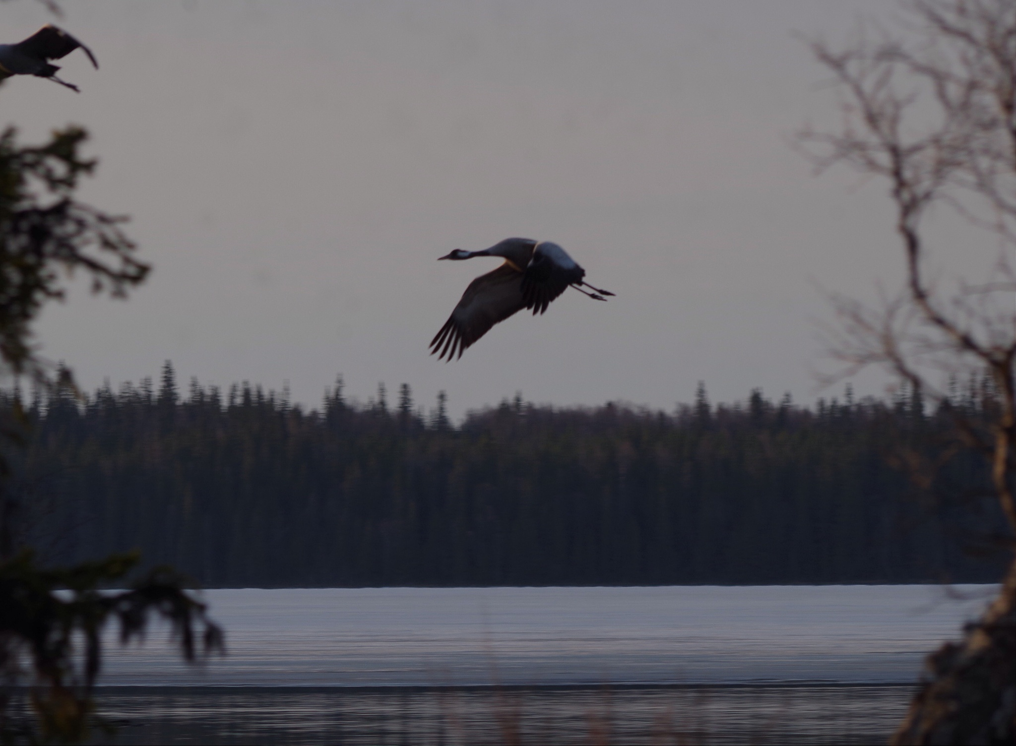 Crane about to land by lundhanders