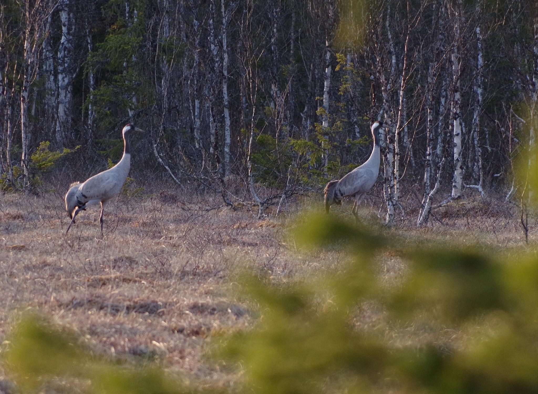 Cranes at lake Gevsjön, Sweden by lundhanders