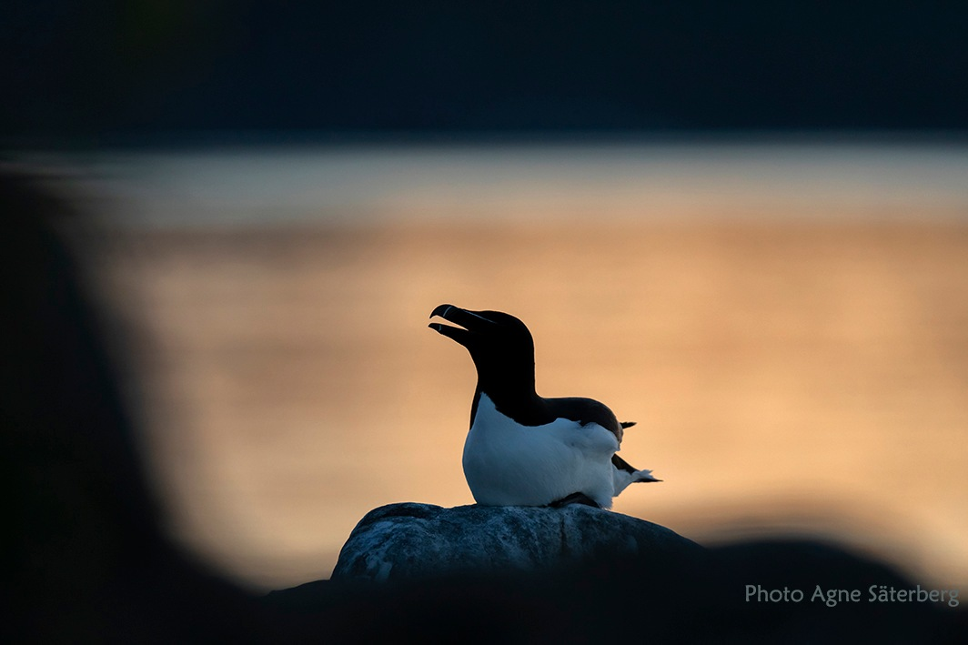 Razorbill out at sea by Agne Säterberg