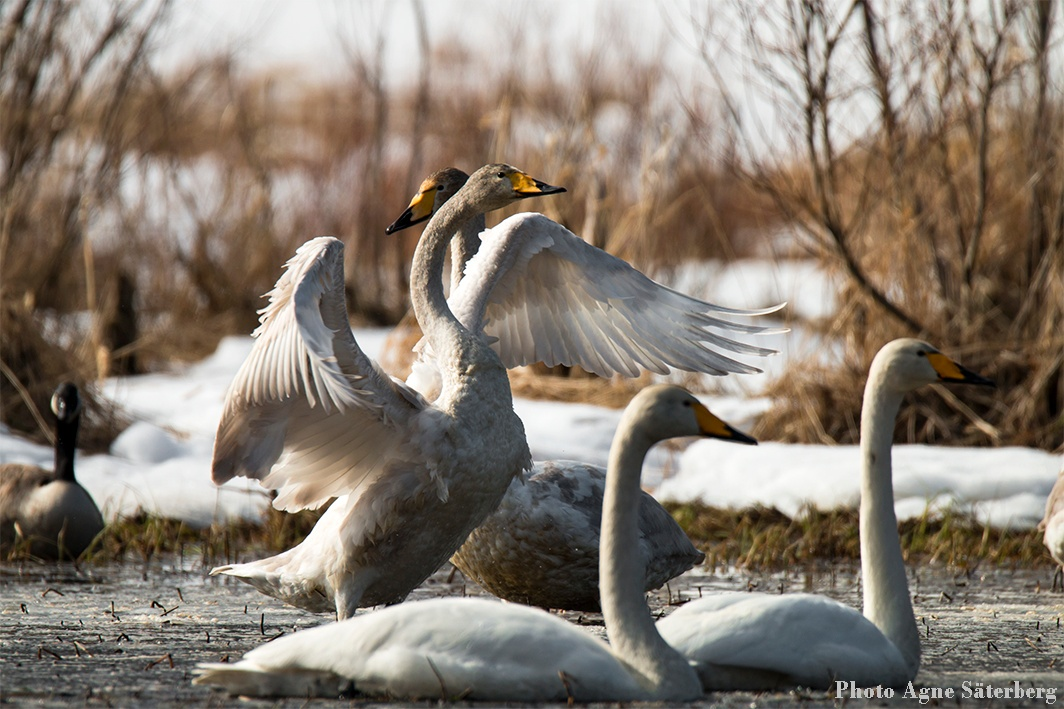 Swans! by Agne Säterberg