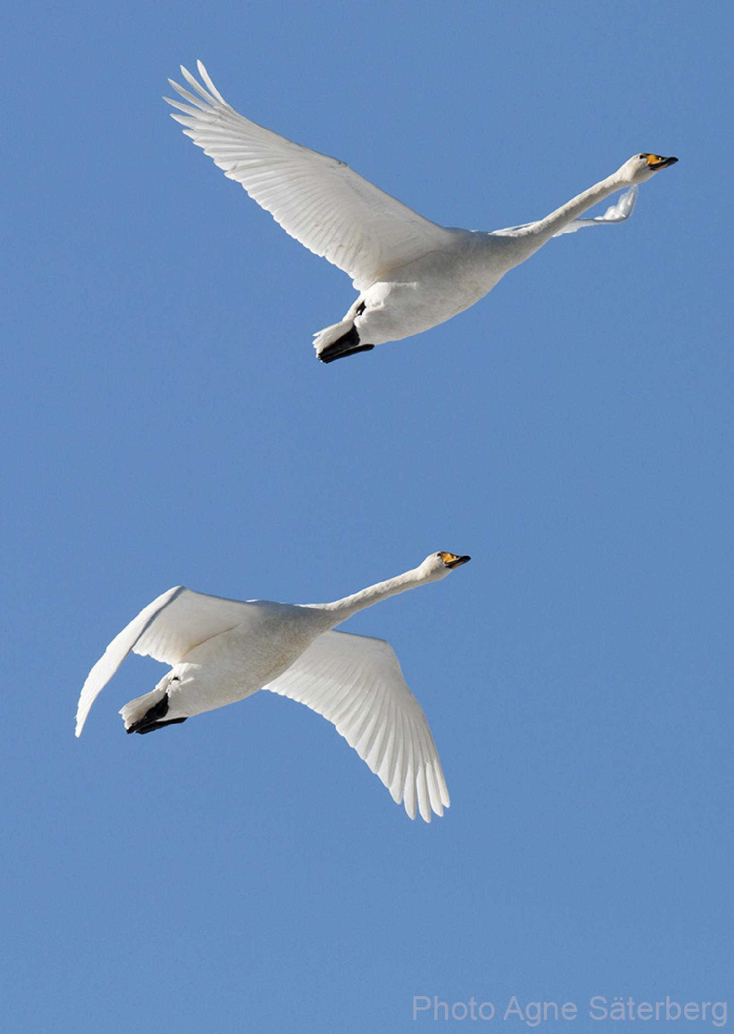 Flying swans in Nordingrå, the High Coast! by Agne Säterberg