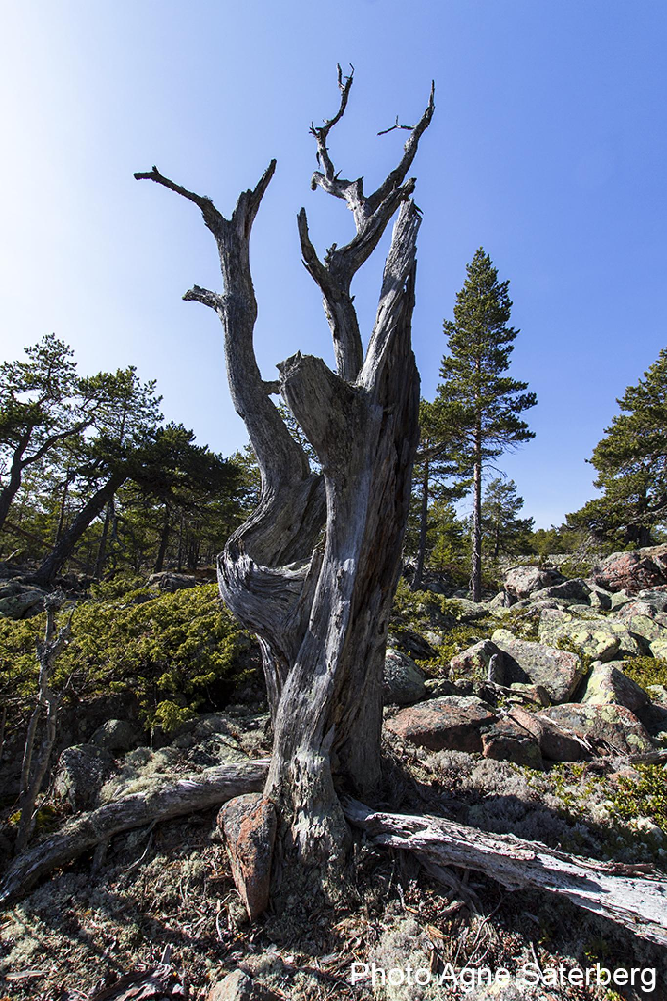 A very old dead tree in the High Coast World Heritage! by Agne Säterberg