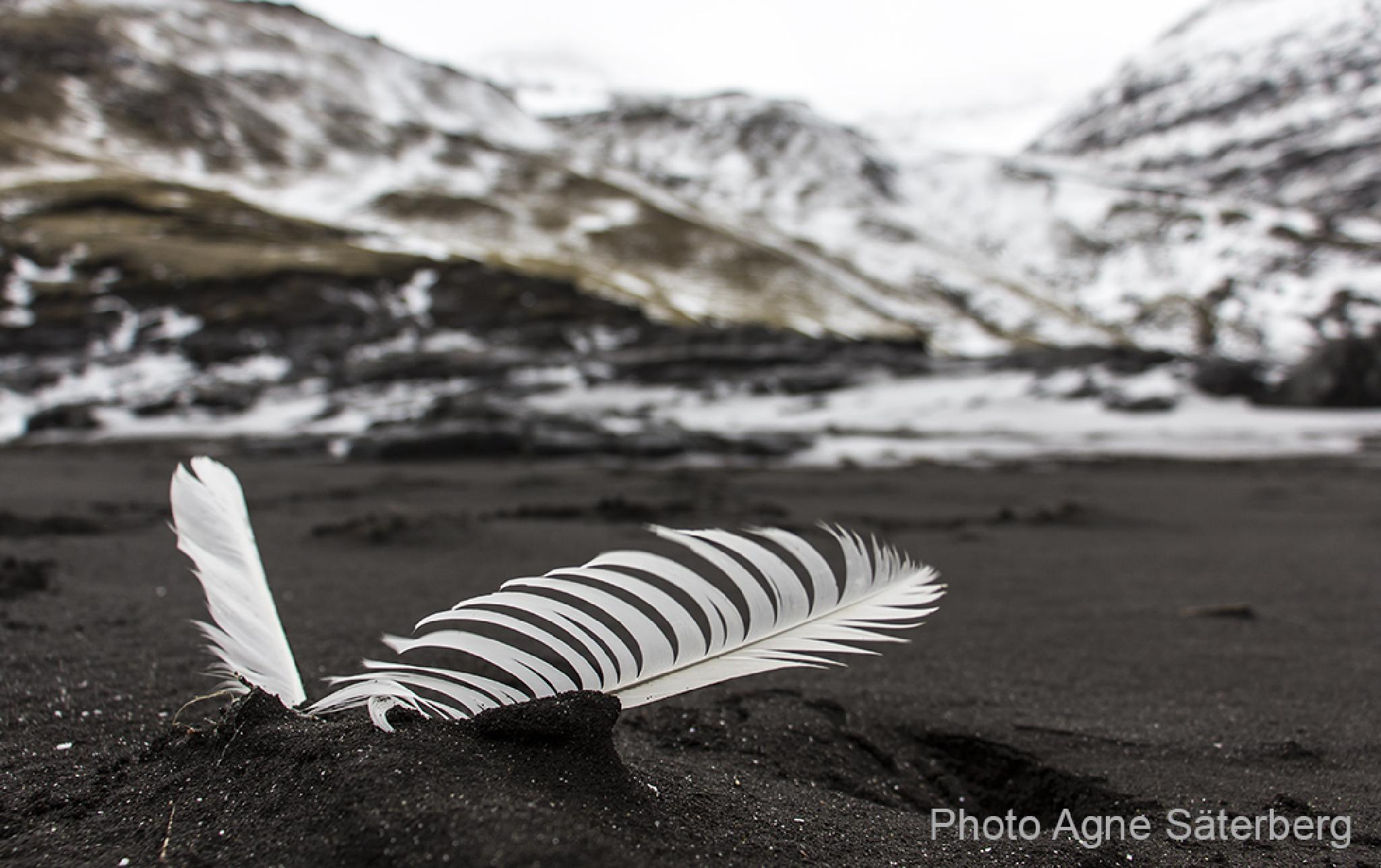 A dropped feather in the Faroe Islands! by Agne Säterberg
