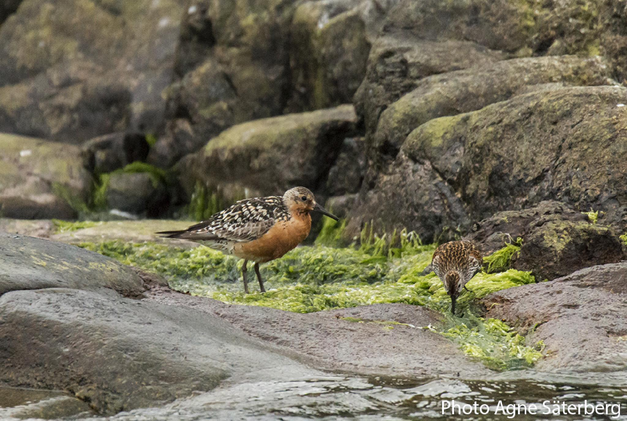 Red Knot in the High Coast World Heritage! by Agne Säterberg
