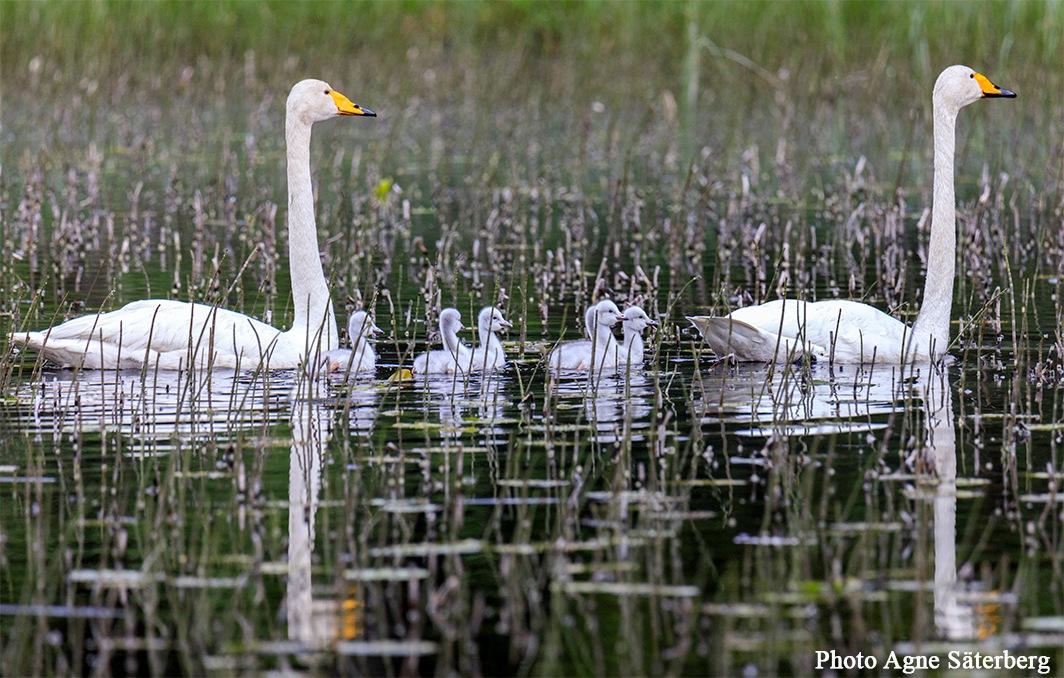 Newborn Swan kids by Agne Säterberg
