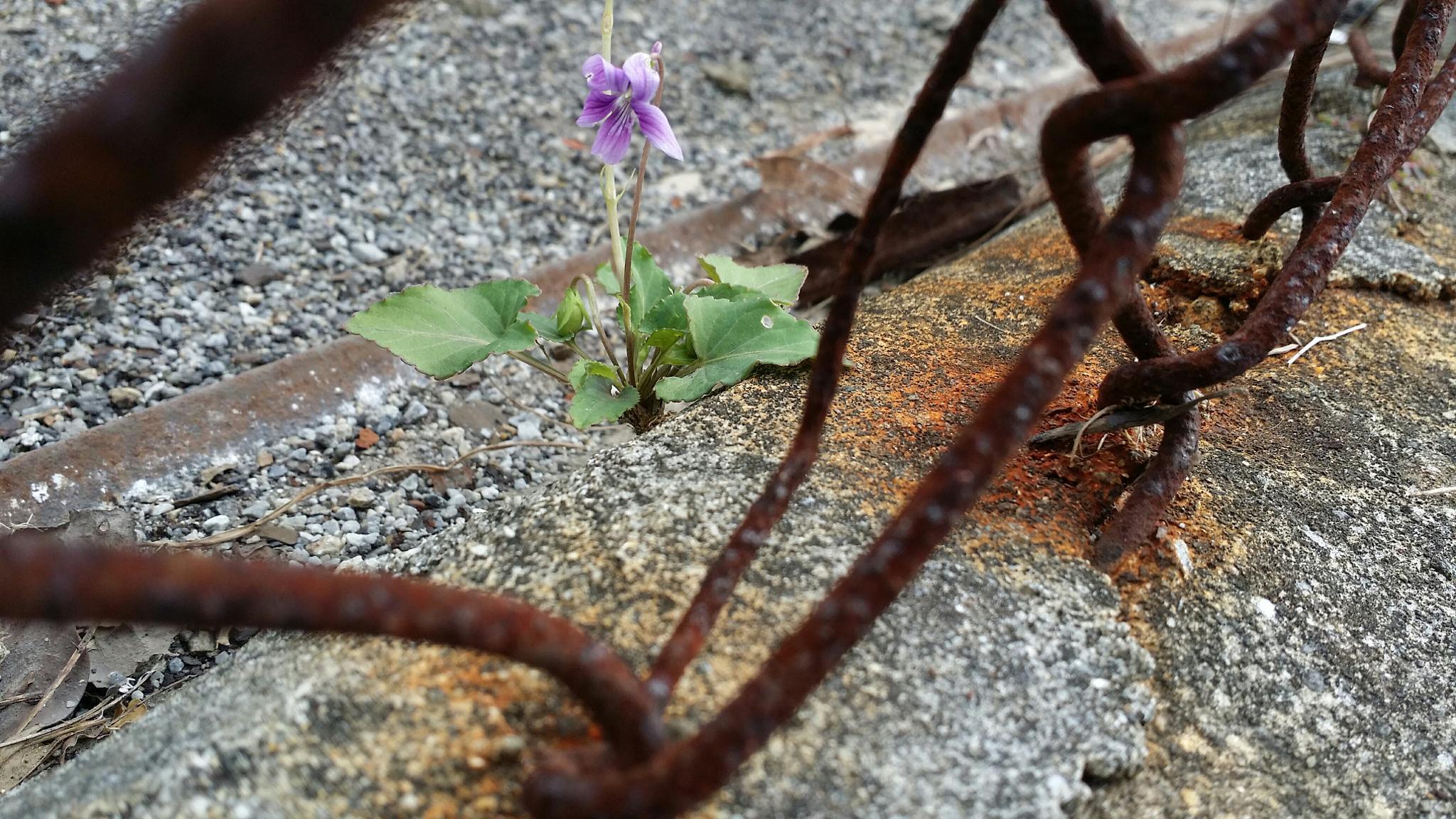 Viola yedoensis var. pseudo-japonica by NISHIHATA Osahiro