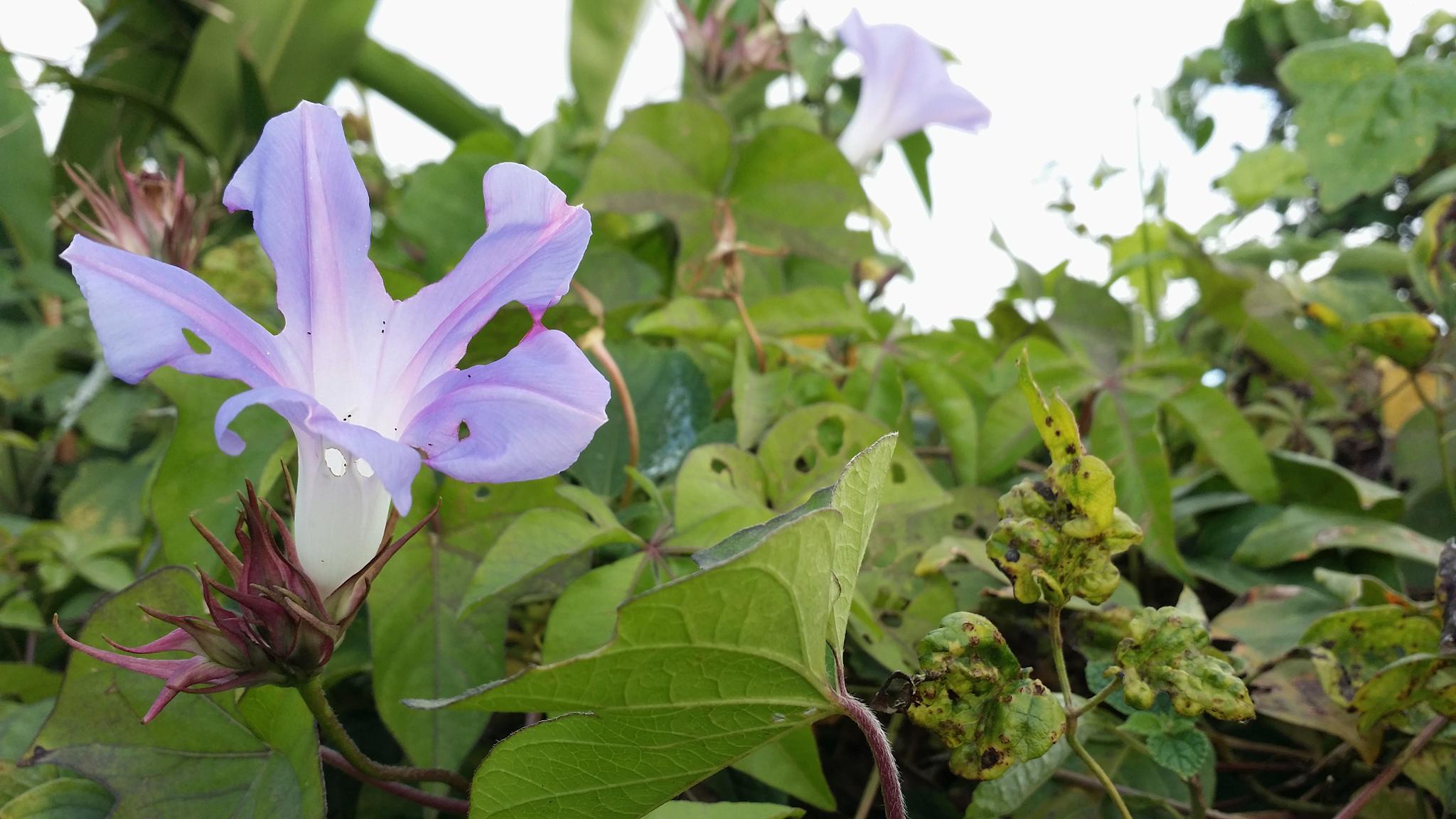 Ipomoea purpurea by NISHIHATA Osahiro