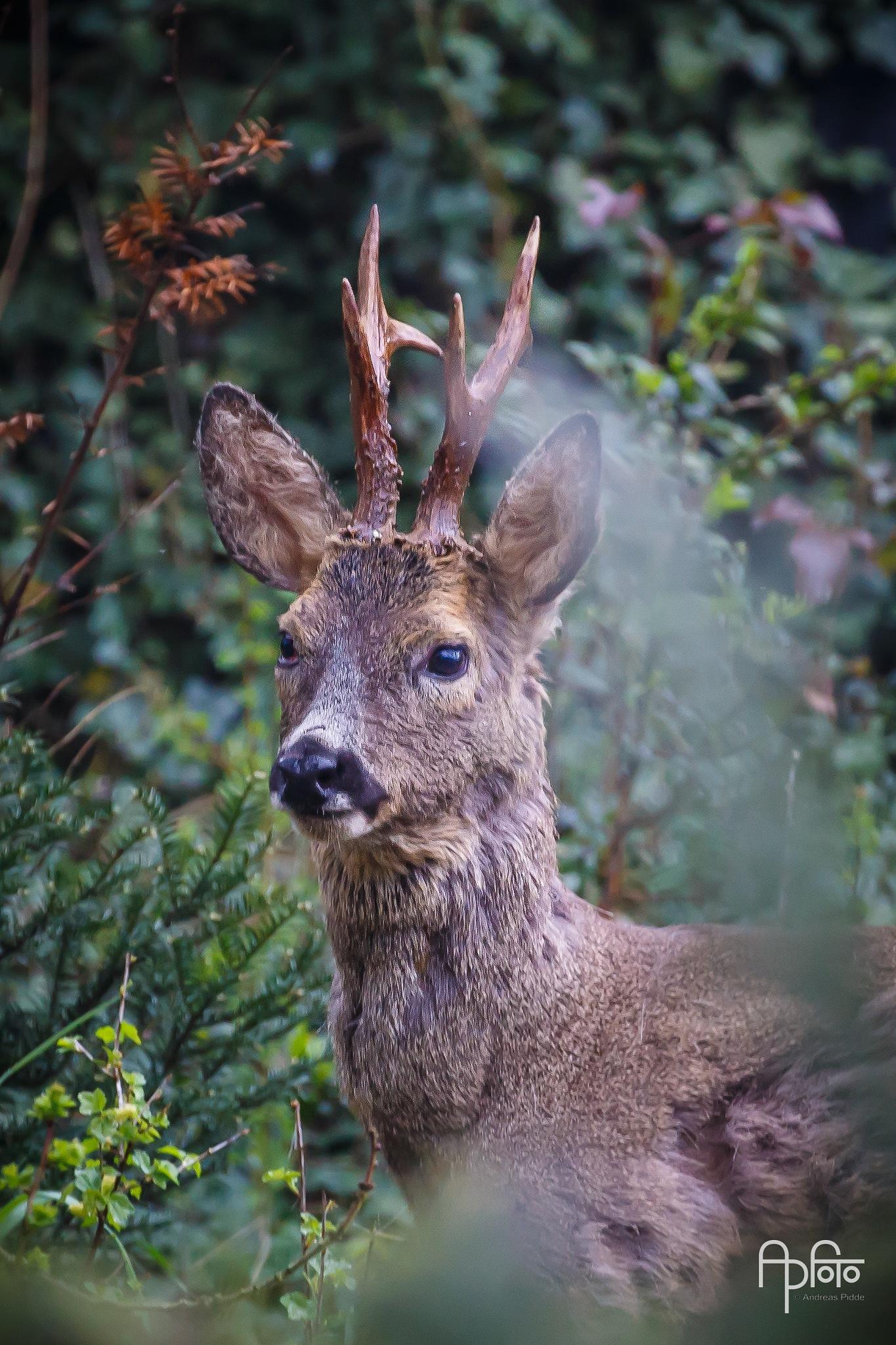 Roe Deer by Andreas Pidde