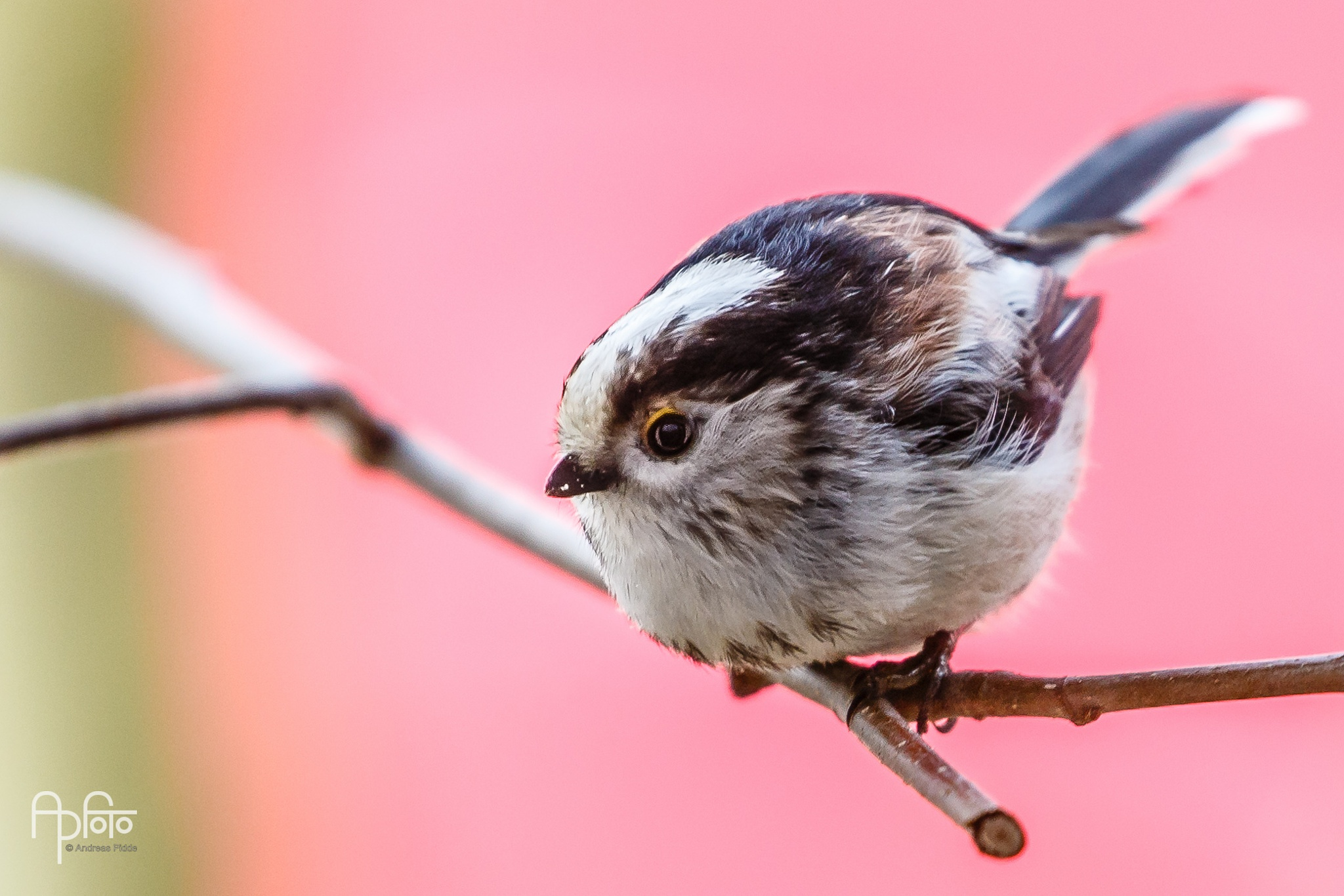 Long-tailed Tit by Andreas Pidde