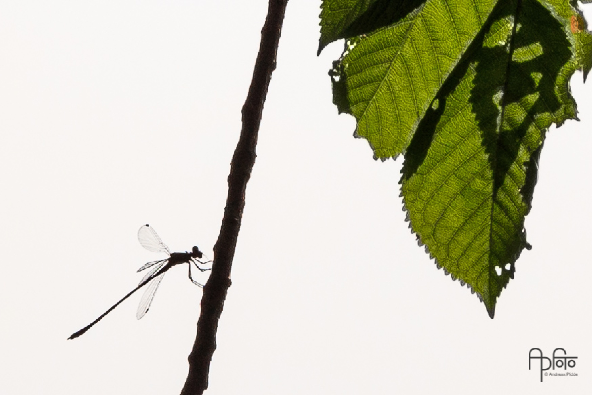 Damselfly Silhouette by Andreas Pidde
