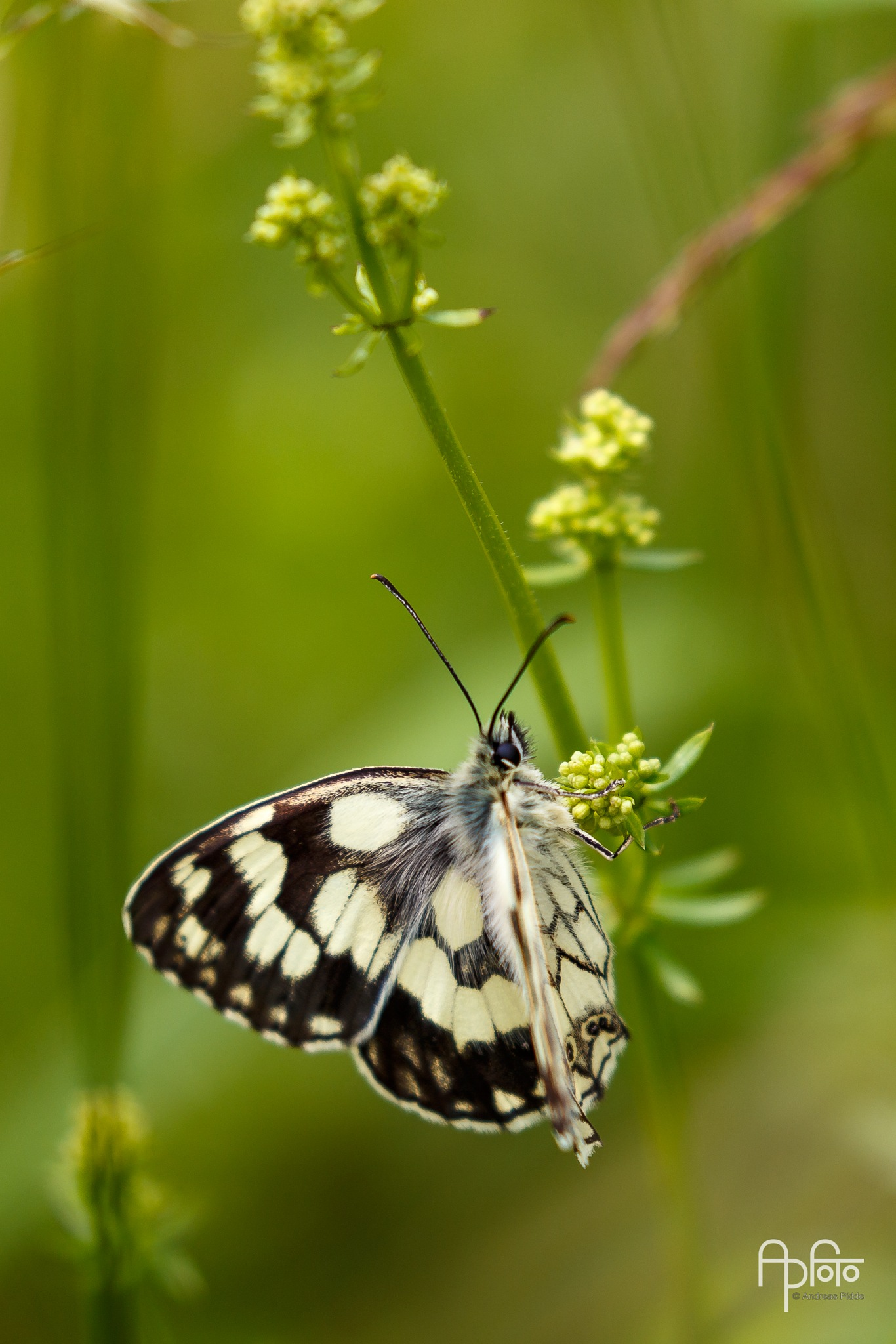 Marbled white (Melanargia galathea) resting by Andreas Pidde