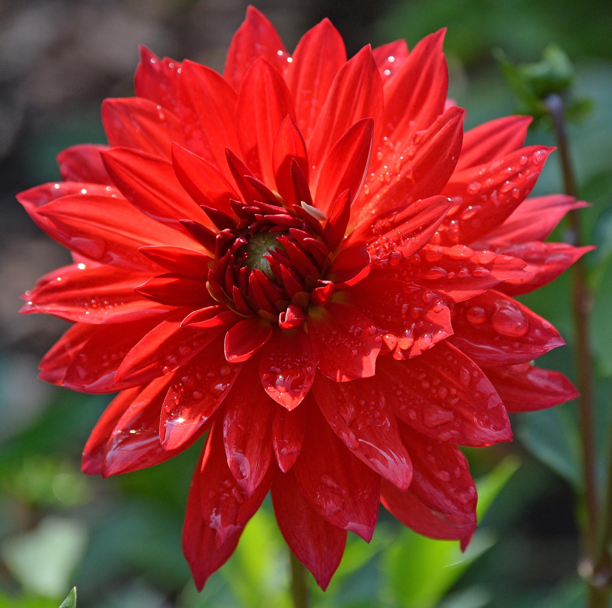 Red Flower by Annie Huber