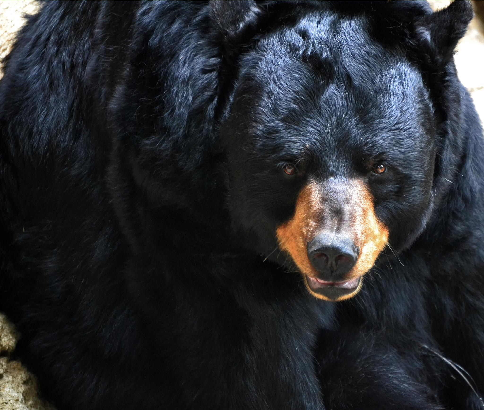 Black Bear by Annie Huber