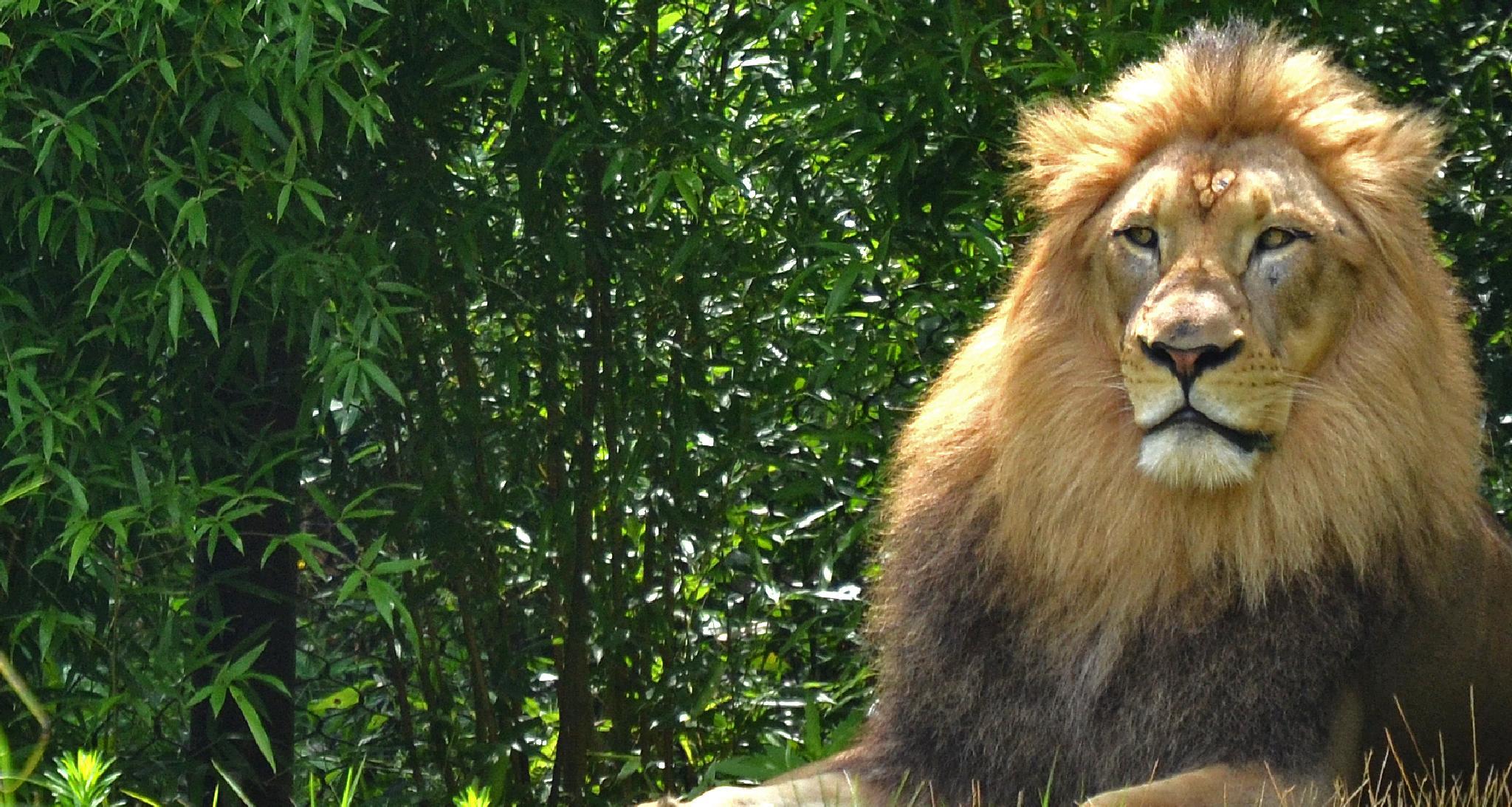 Regal Lion by Annie Huber