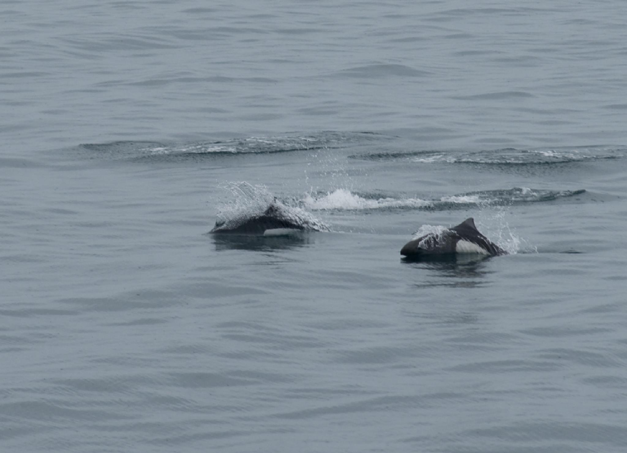 Porpoise racing by debra.louden1