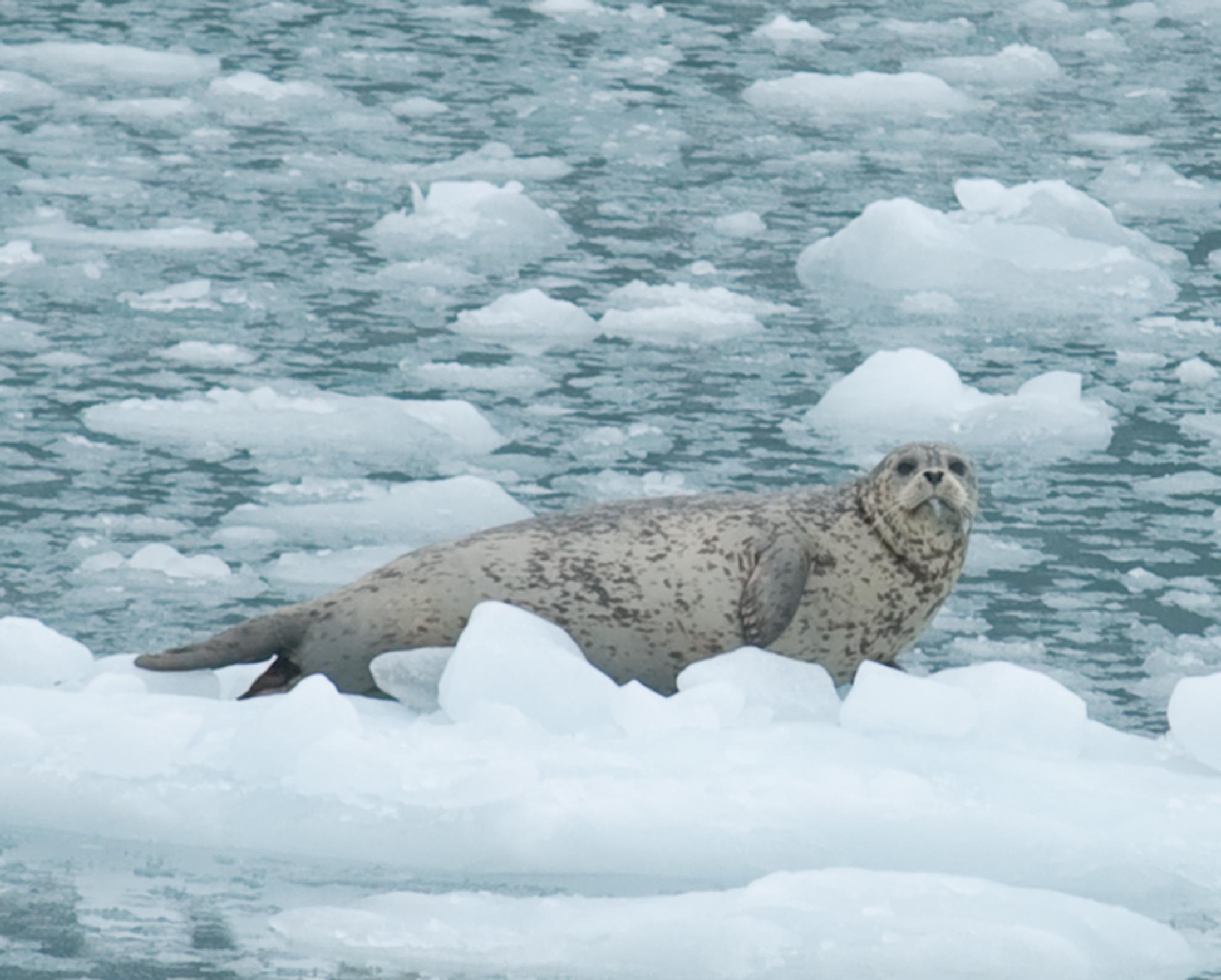 seal on ice 2 by debra.louden1