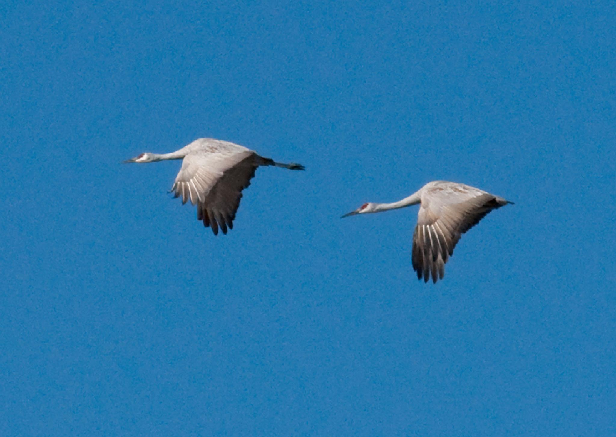 Sandhill Cranes in flight by debra.louden1