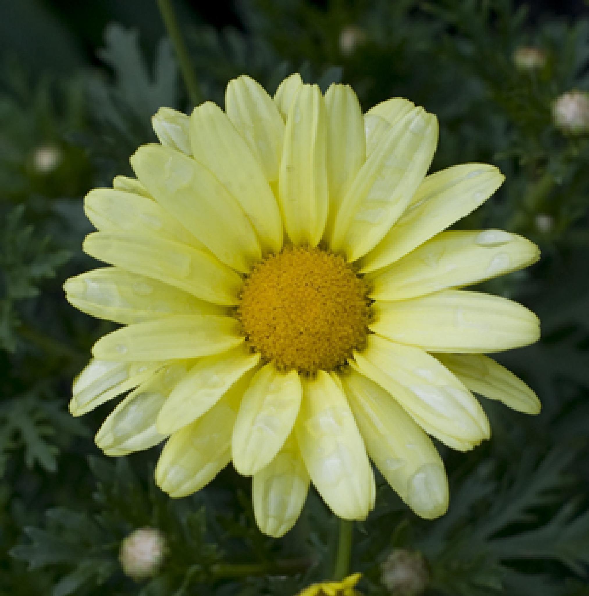 daisy daisy by debra.louden1