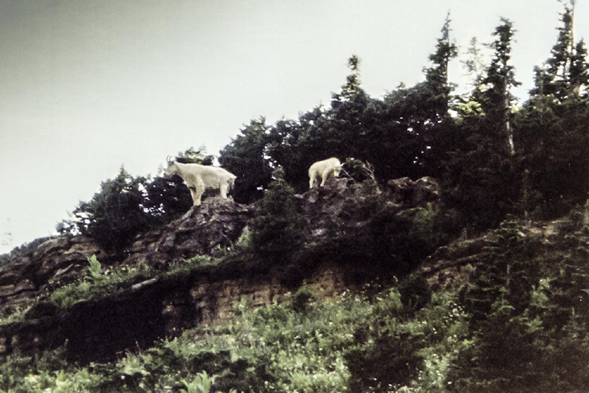 Photo in Landscape #mountain goat #mountain #montana