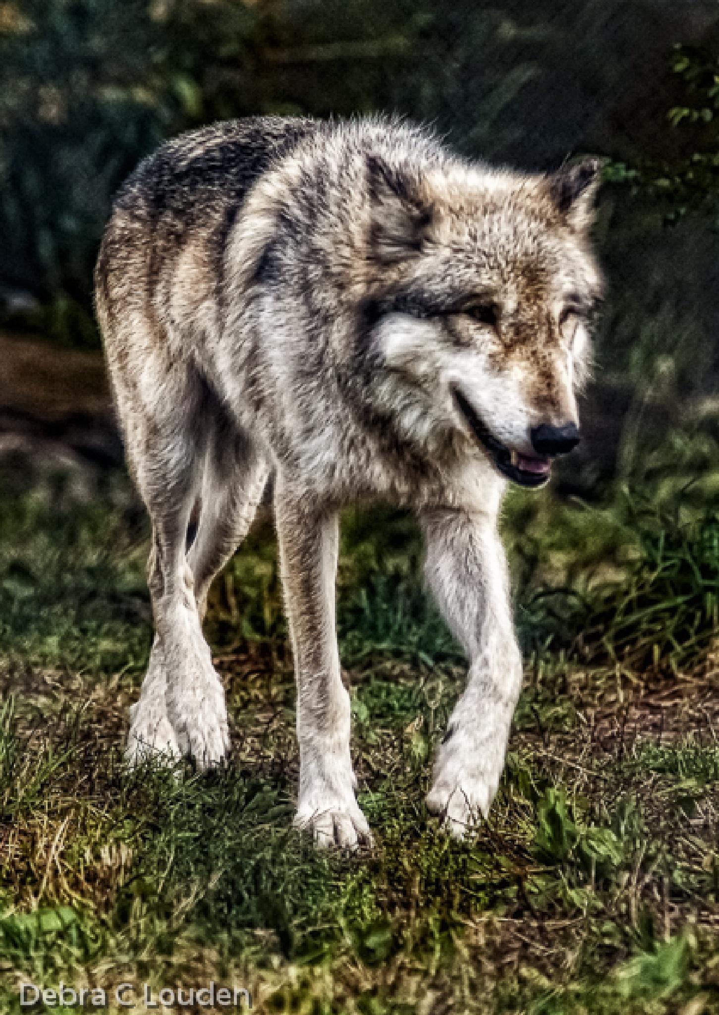 Wolf version2 by debra.louden1