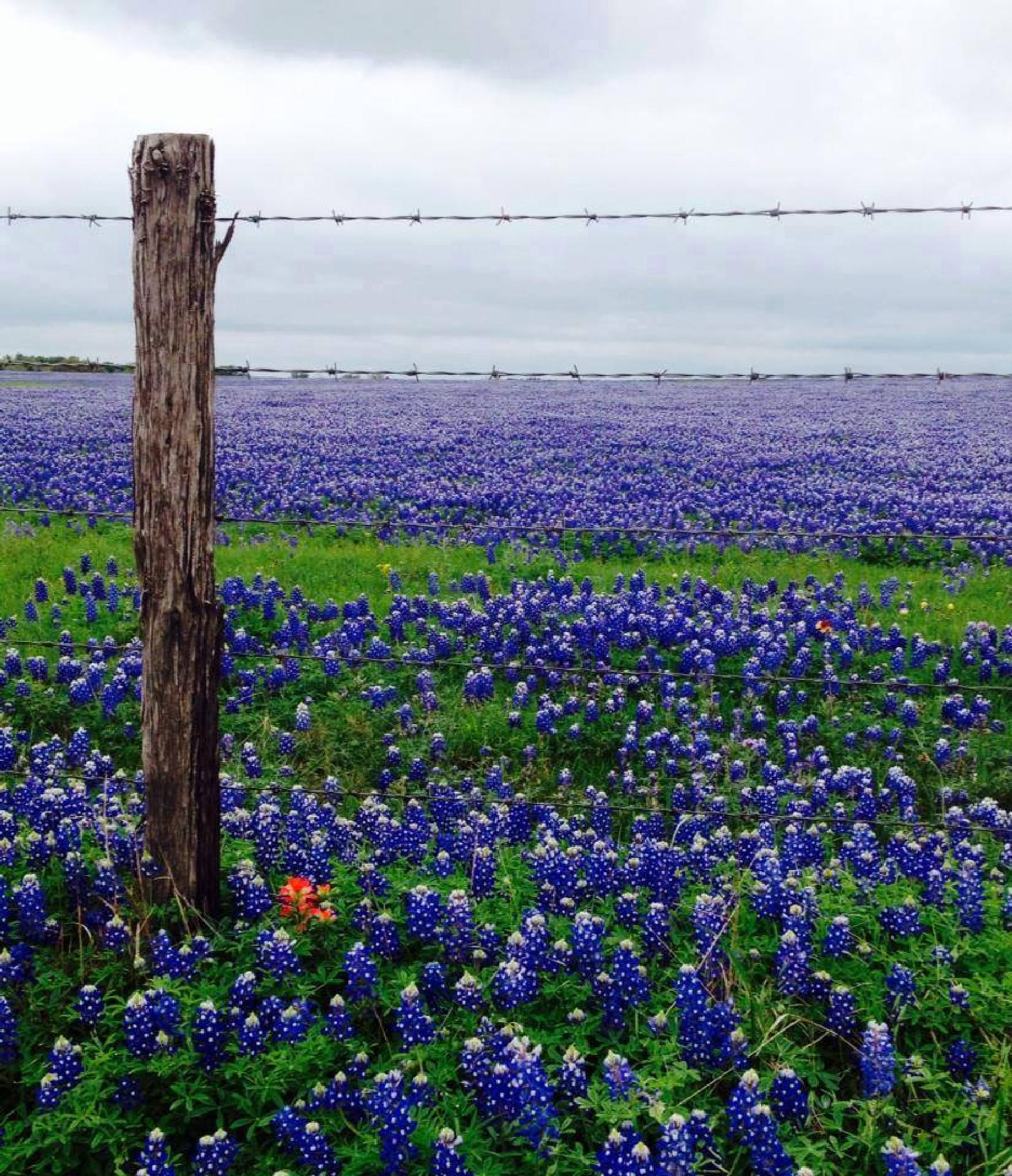 A Little RED in The Bluebonnet fence line by Kit