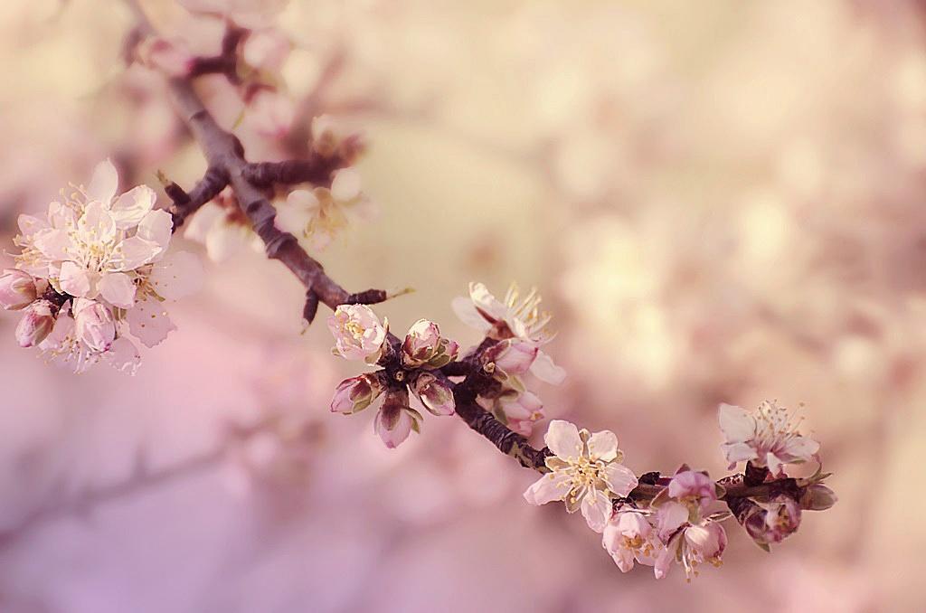 Peach Blossoms by Filiz Bariskan