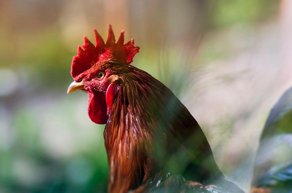 Cock by Filiz Bariskan