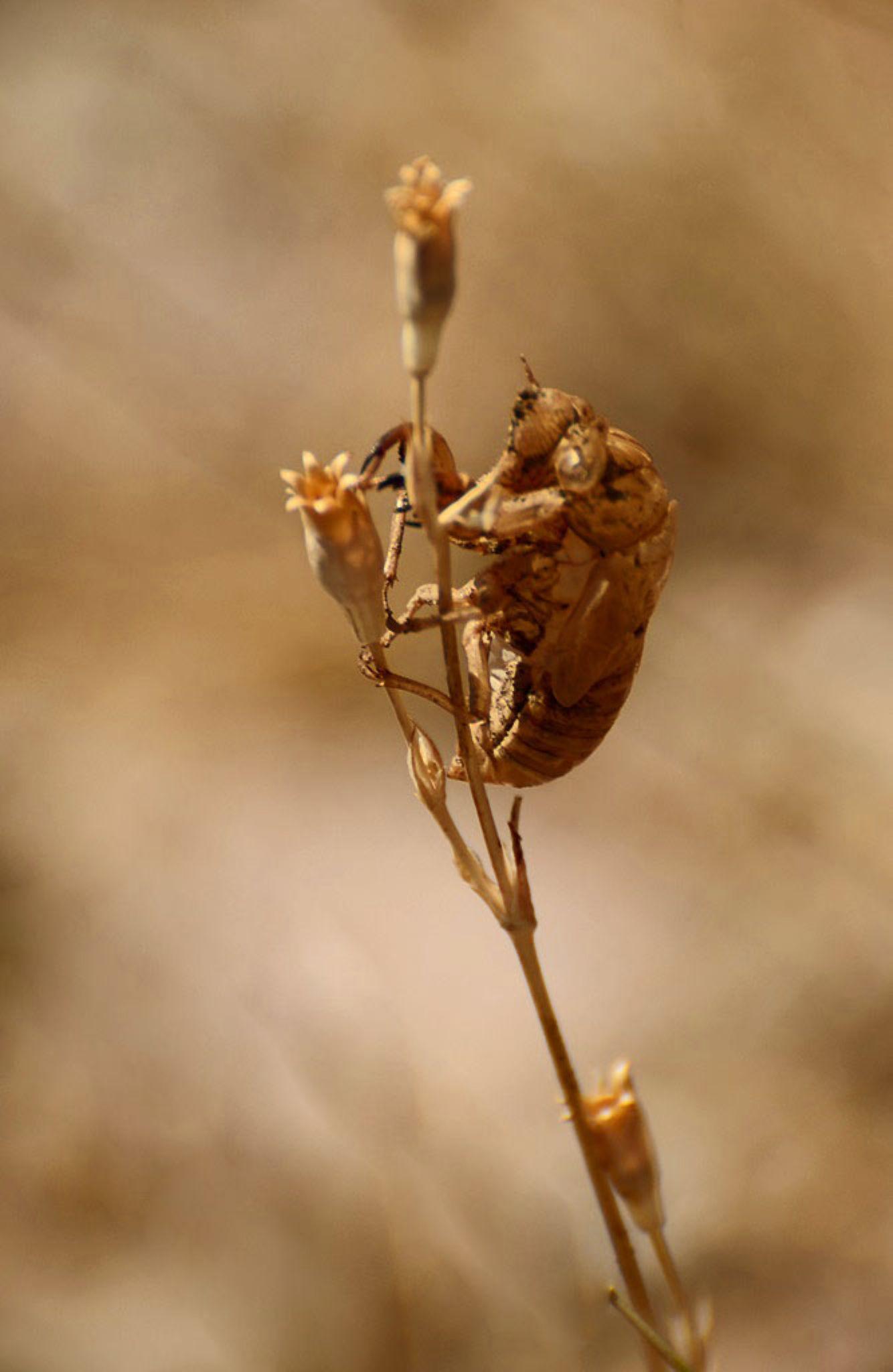 Cicada Shell by Filiz Bariskan