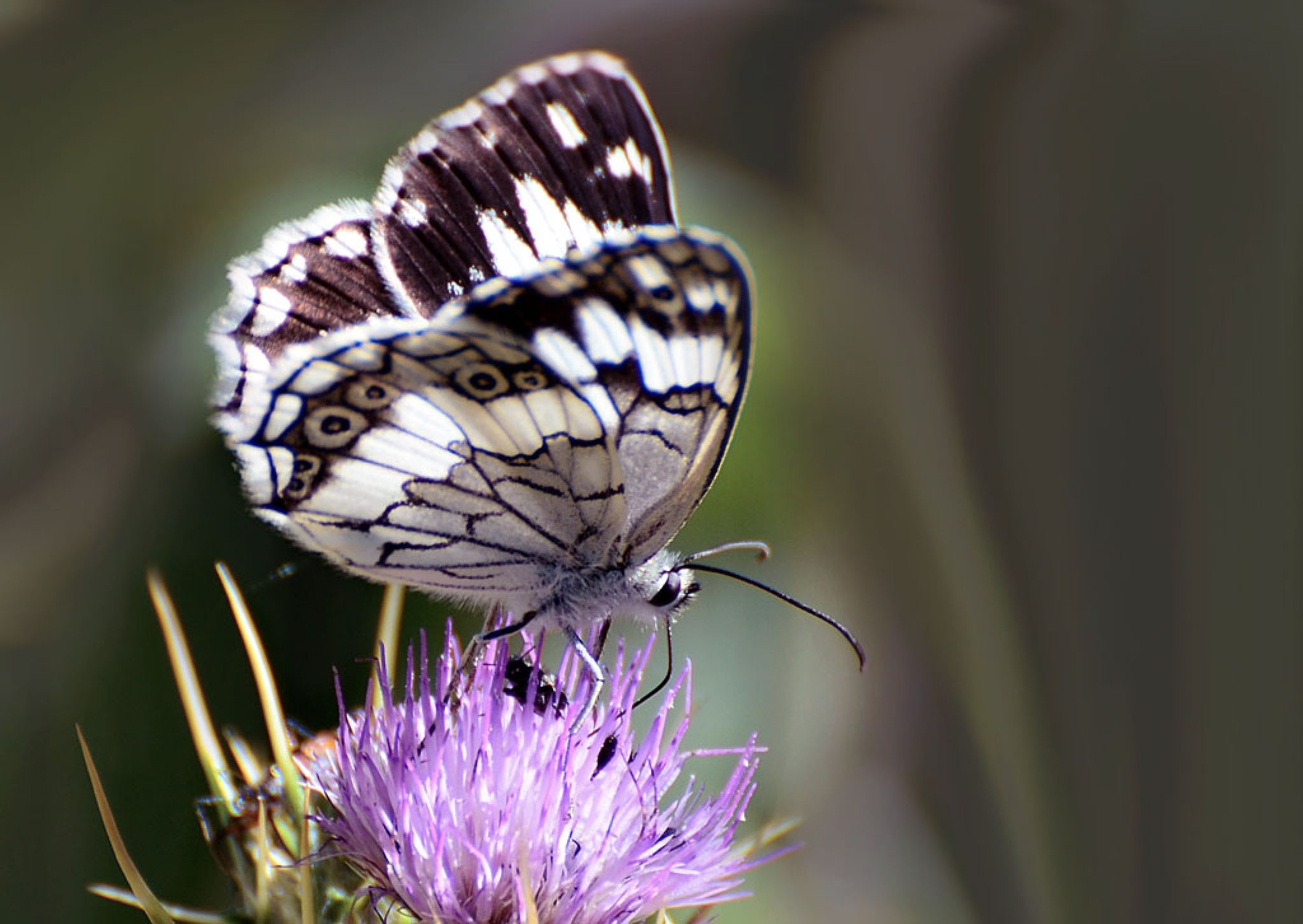 Marbled White by Filiz Bariskan