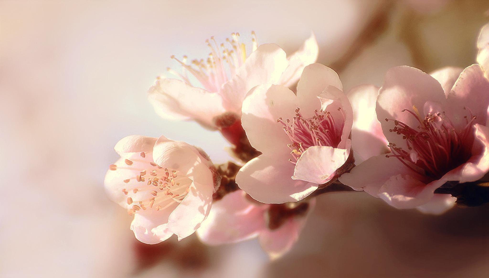 Almond Blossom by Filiz Bariskan
