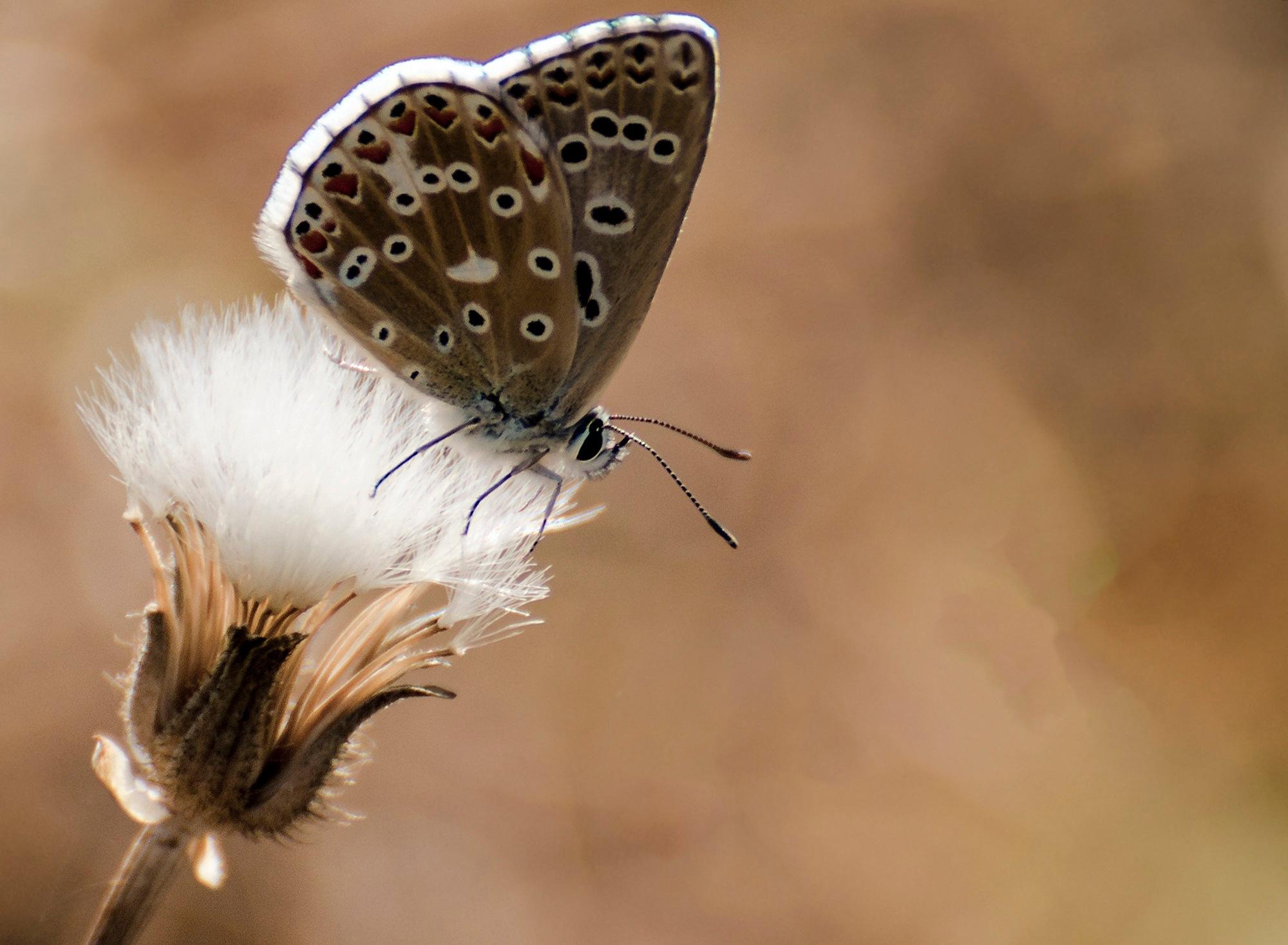 Lycaenidae by Filiz Bariskan