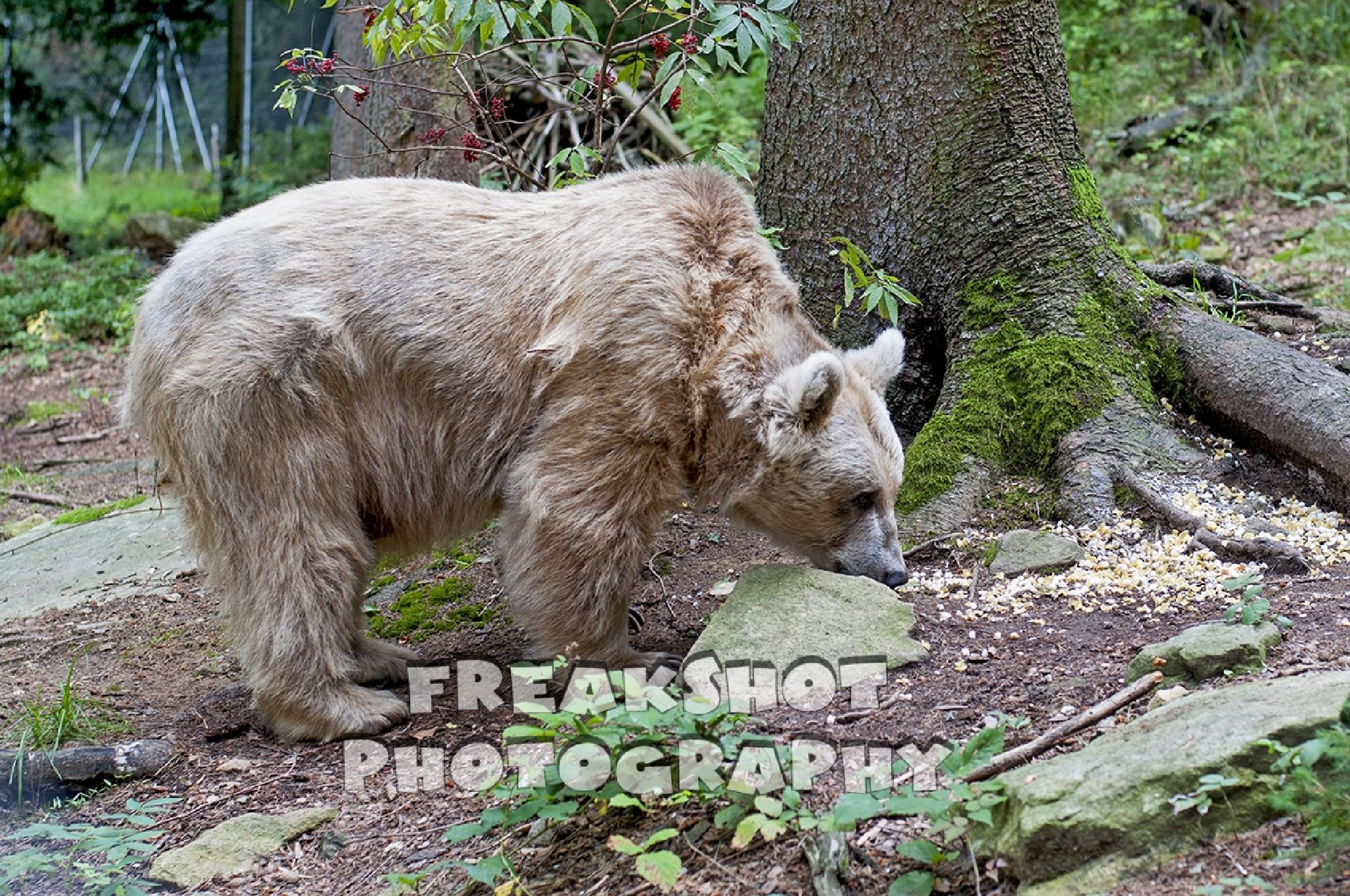 Photo in Animal #bear #brownbear #bär #bärenpark