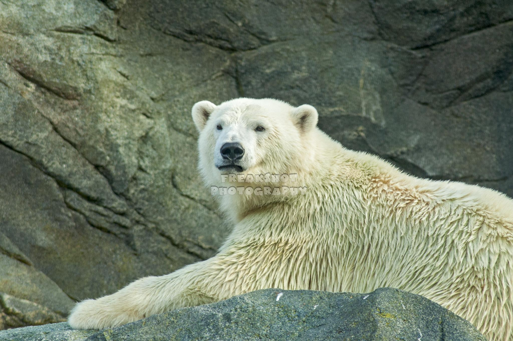 Polar Bear by FreakshotPhotography