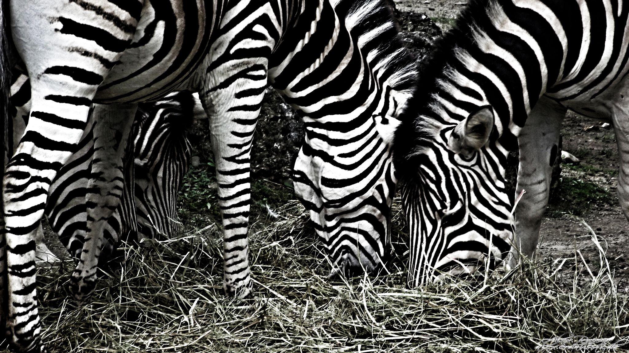 Zebra by alexrasser