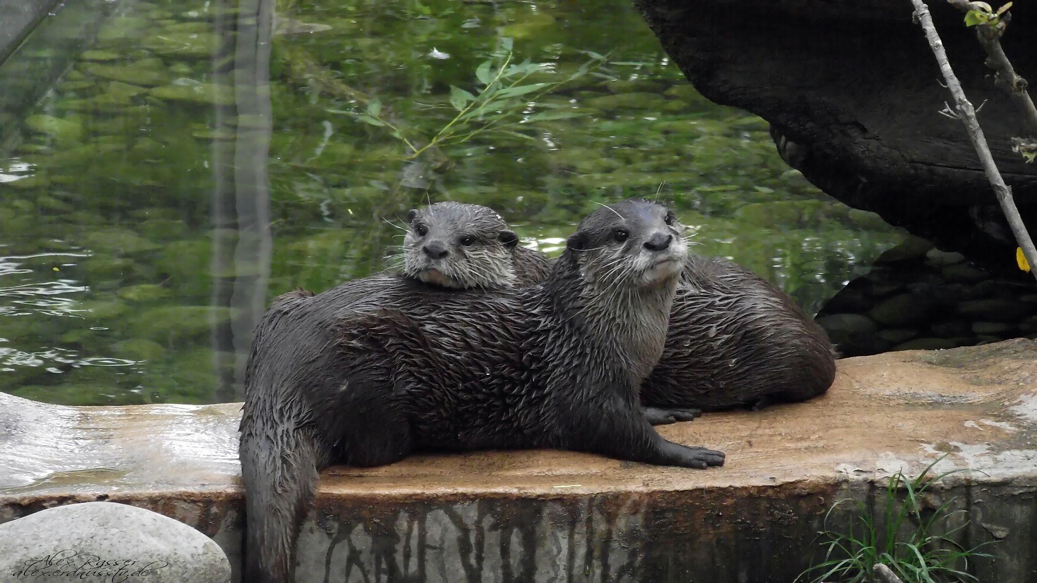 Otter by alexrasser