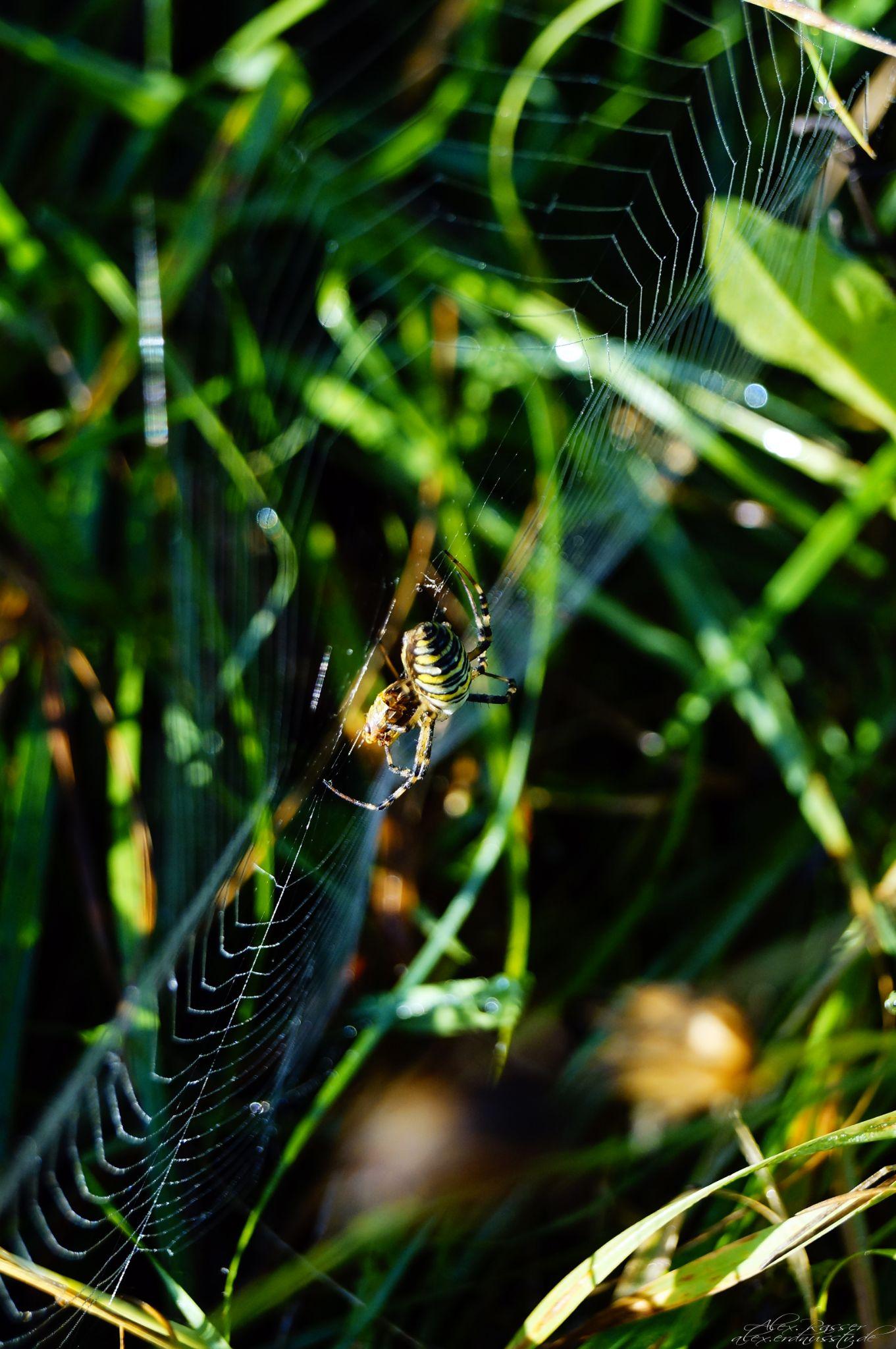 Wespenspinne by alexrasser