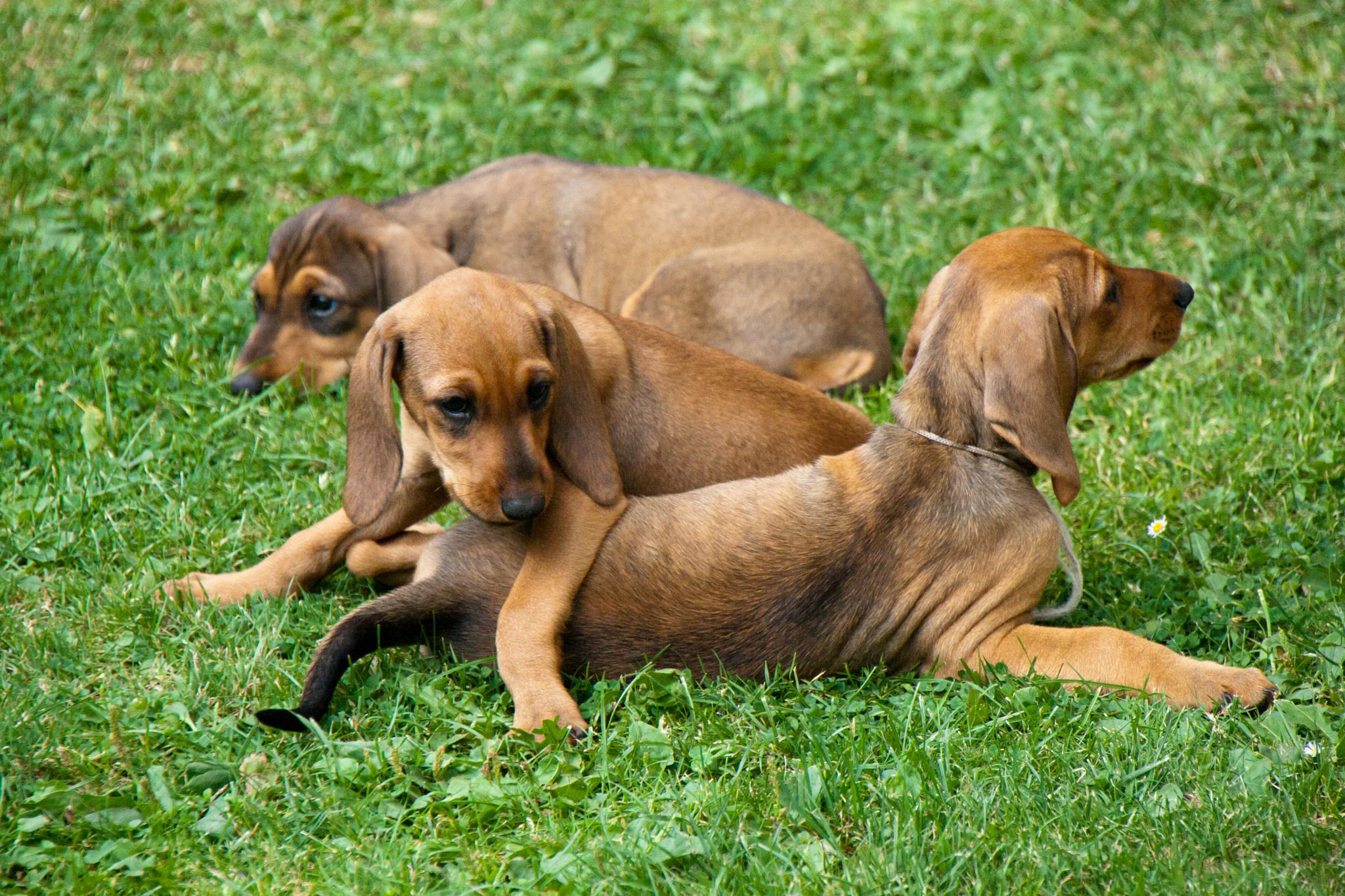 puppies by alessandronicolodi