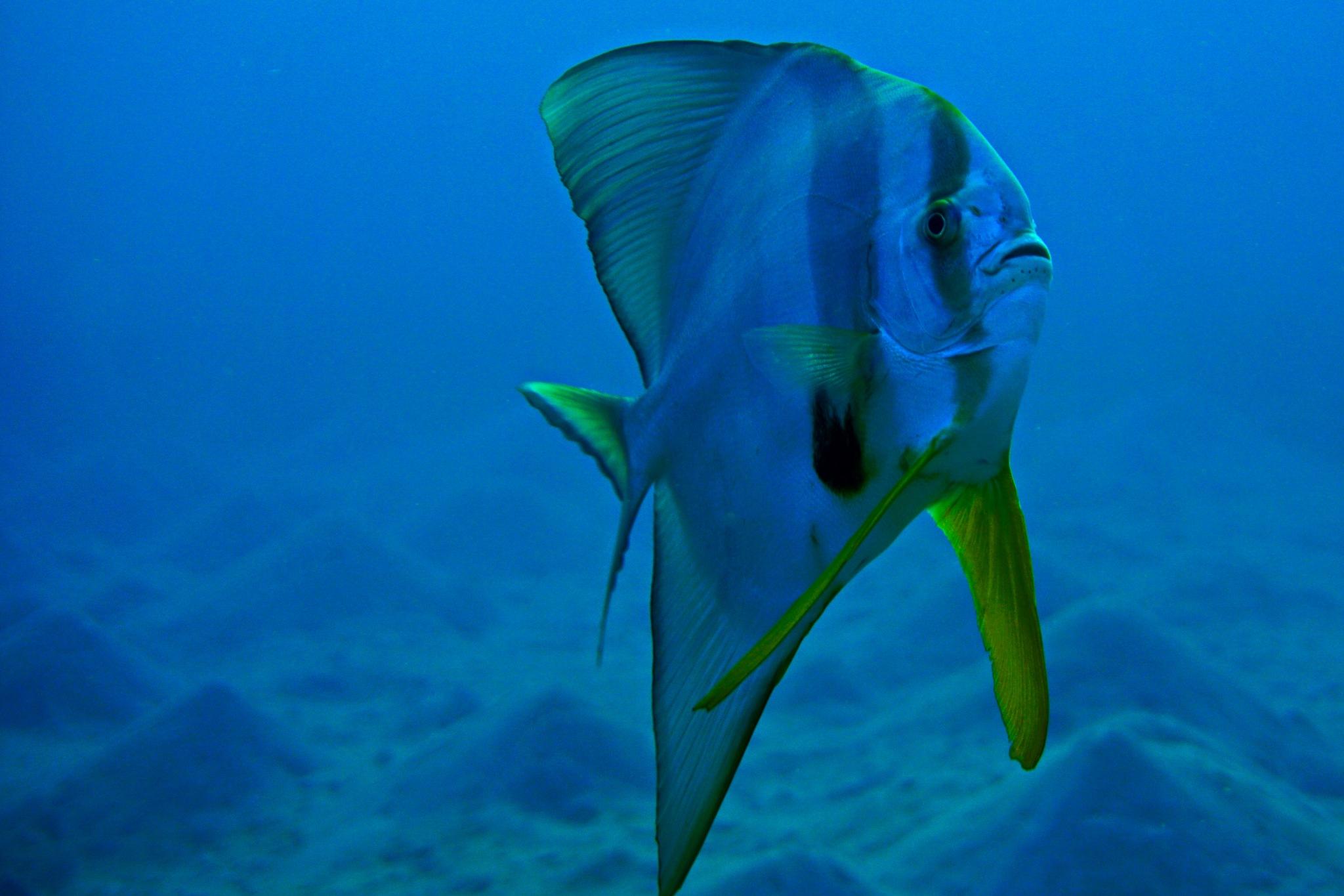 Longfin batfish by Ramadan