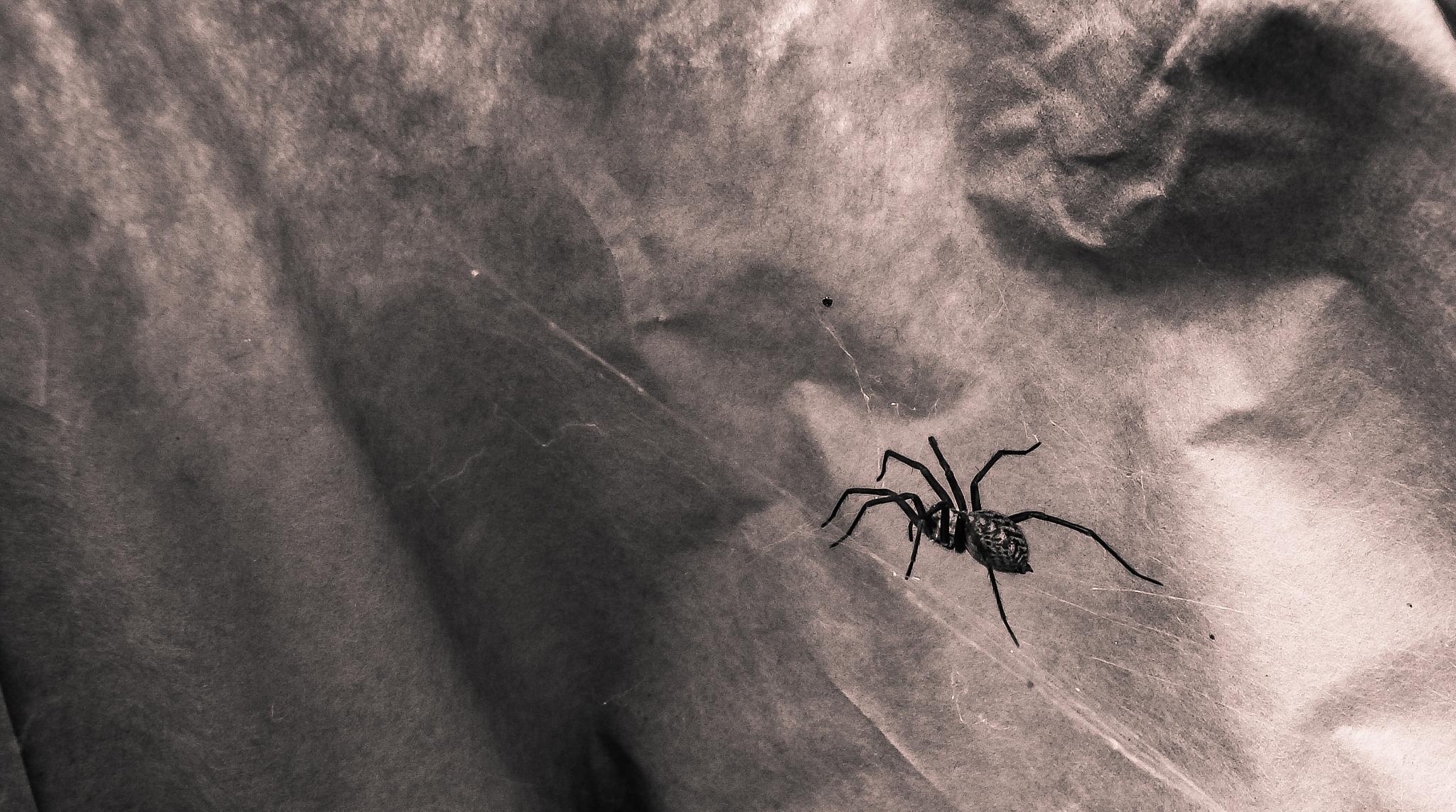 Spider on web by marton.zoltan.96