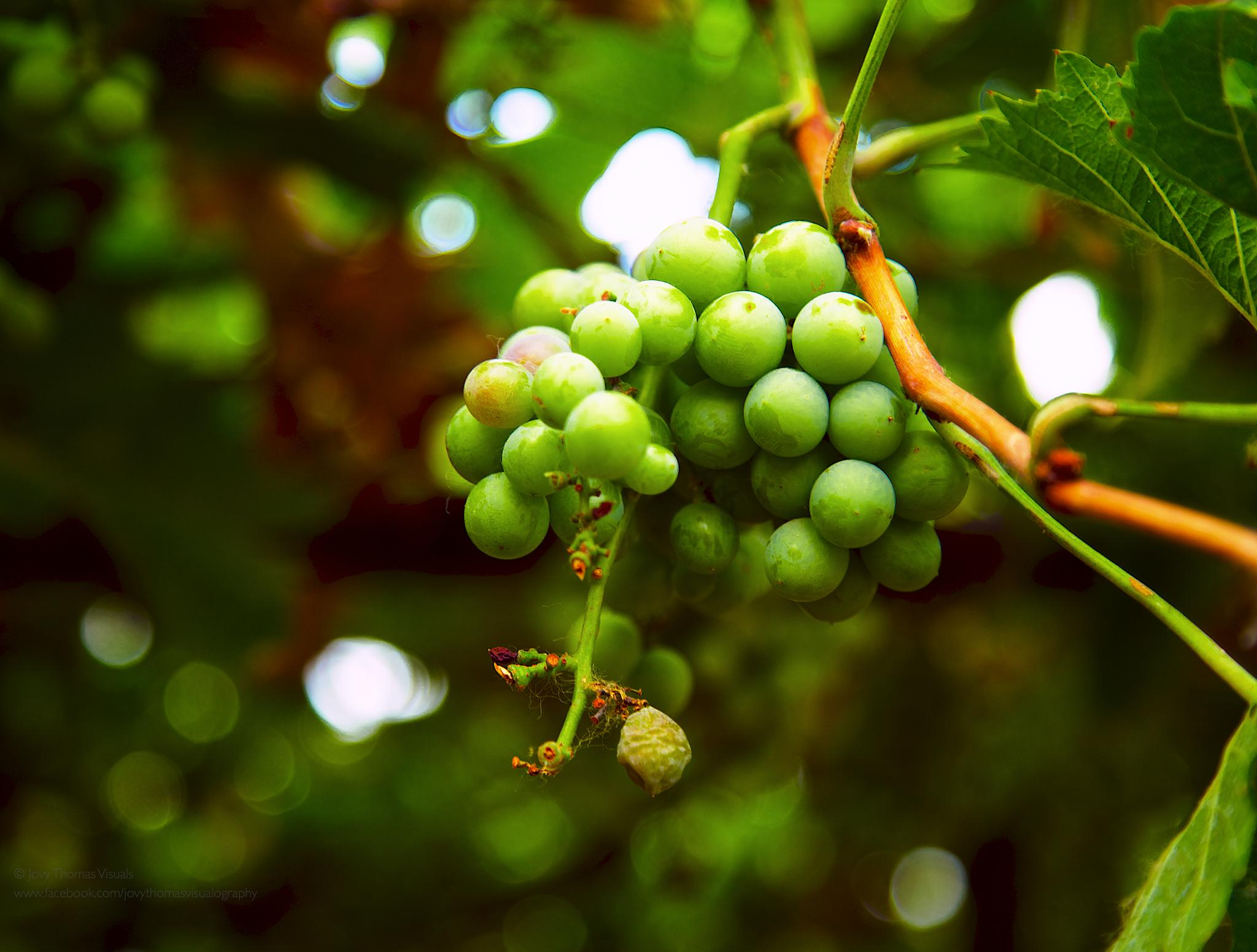Photo in Nature #grapes #vine #vineyard #nature #fruits