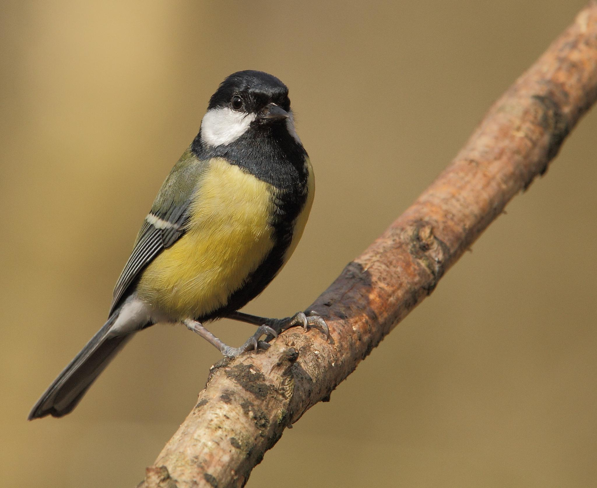 Great Tit by kingfisher