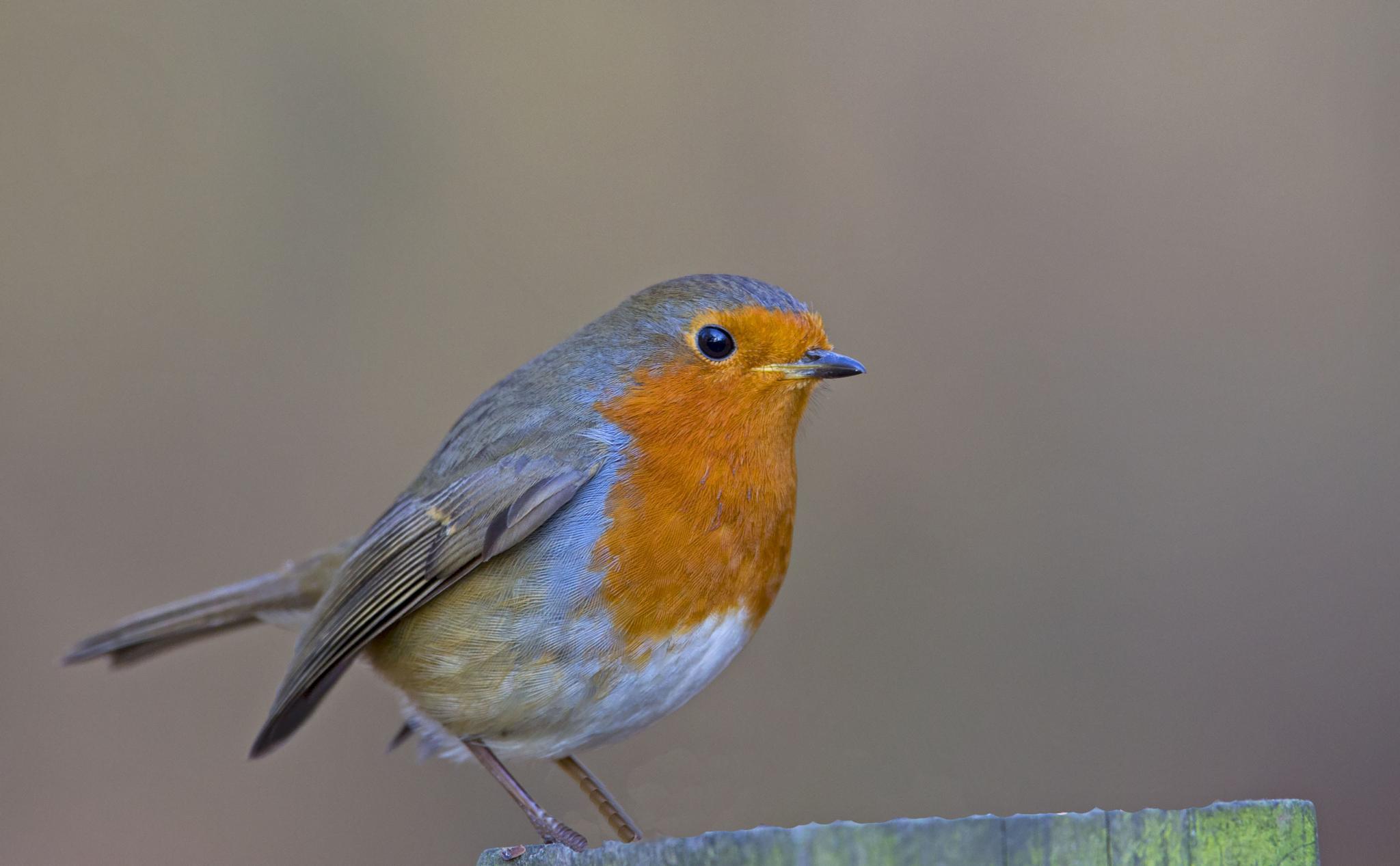 Robin by kingfisher