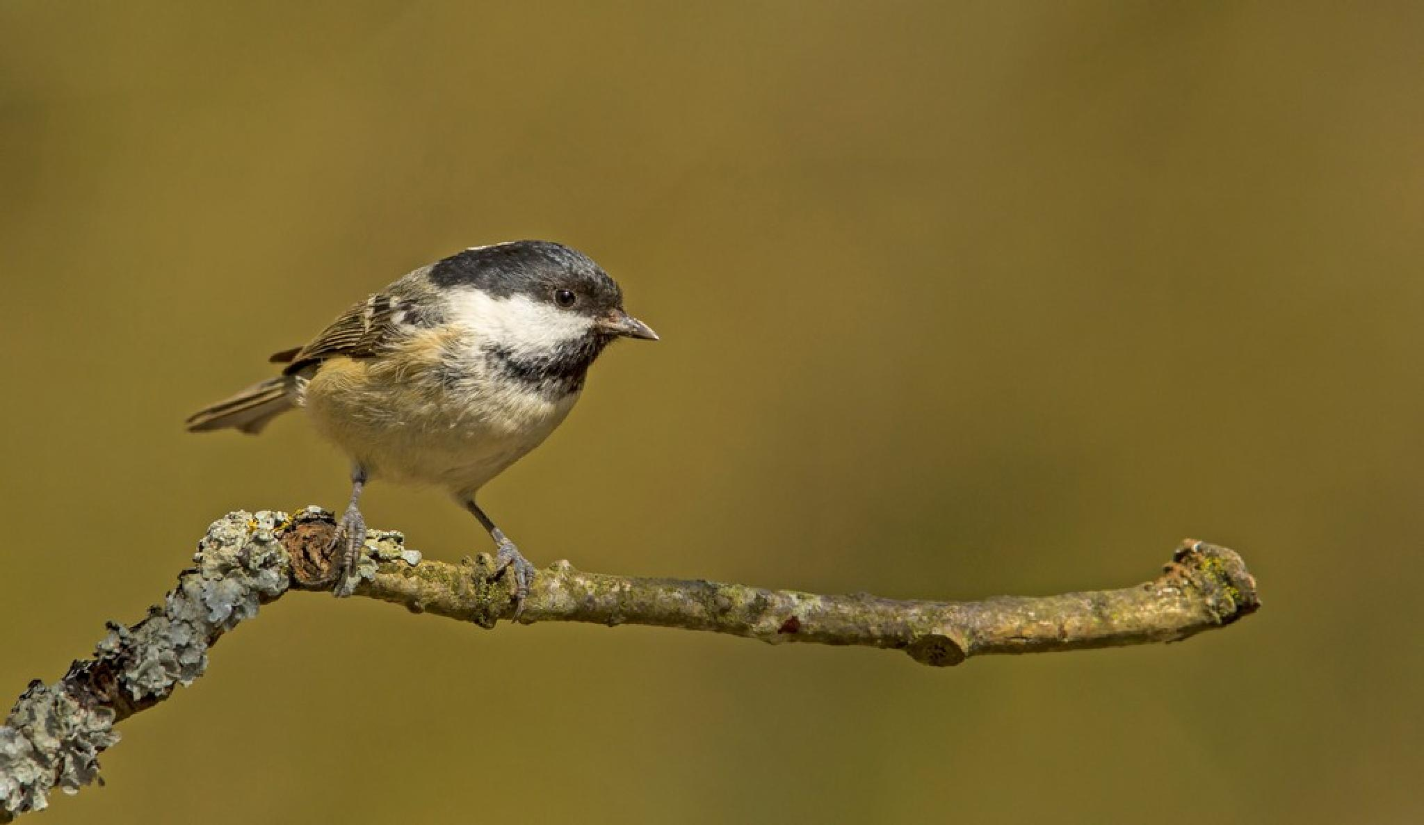Coal Tit by kingfisher