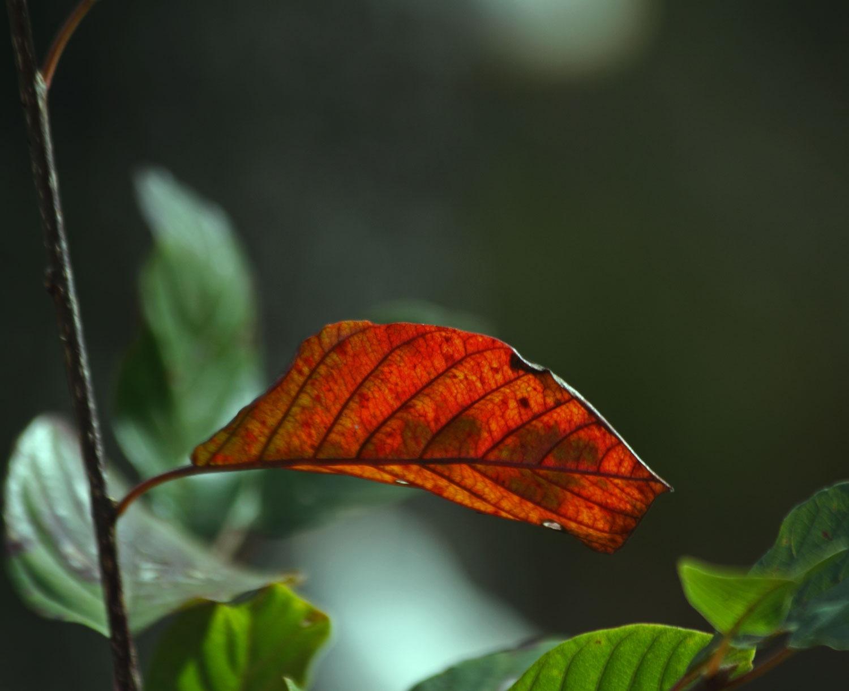 Red leaf by vedvejen