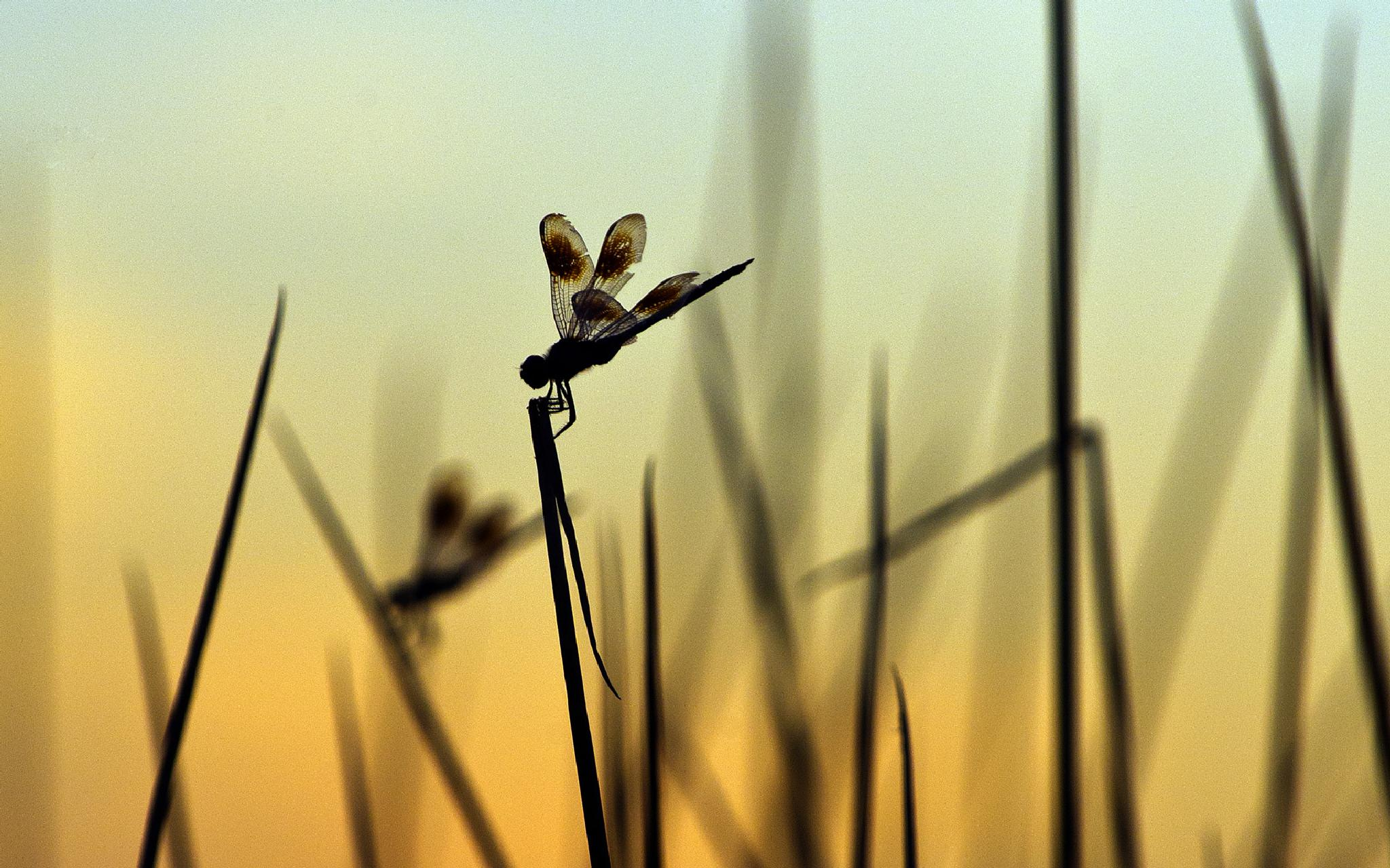 Dragon fly at Sunset by ImagesbyChase