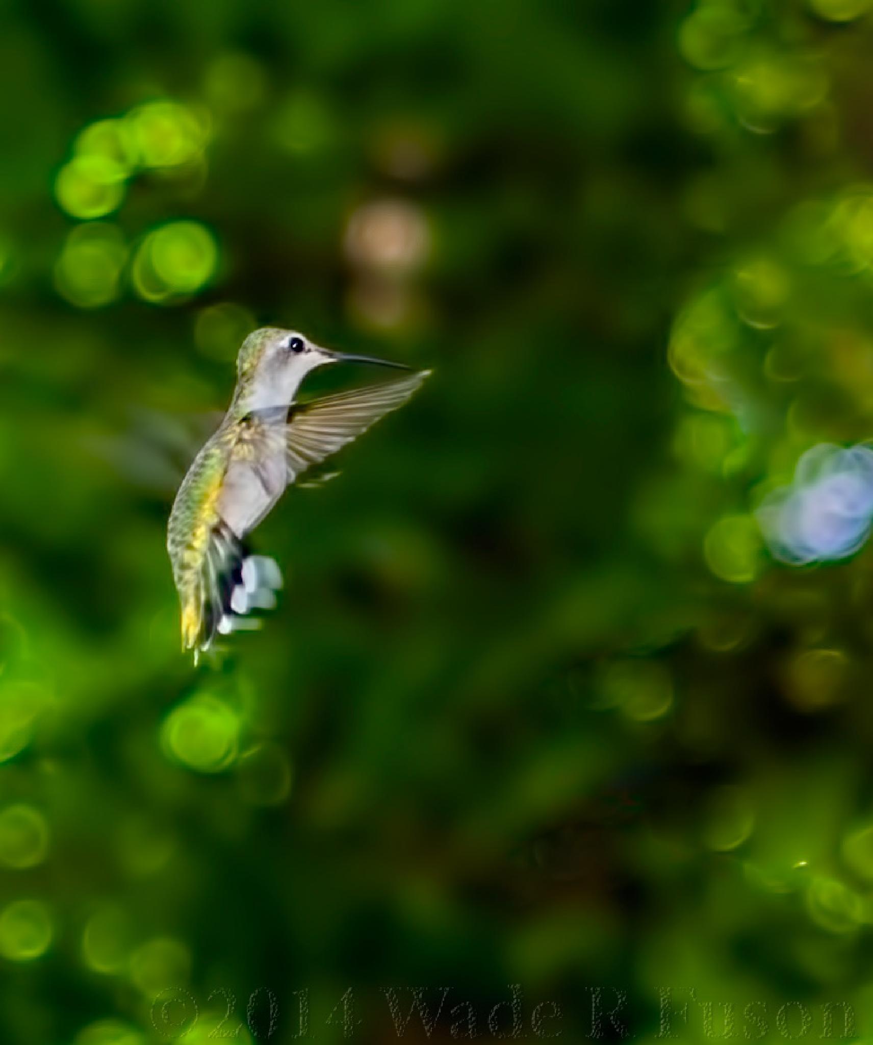 Hummingbird #1 by Wade Fuson